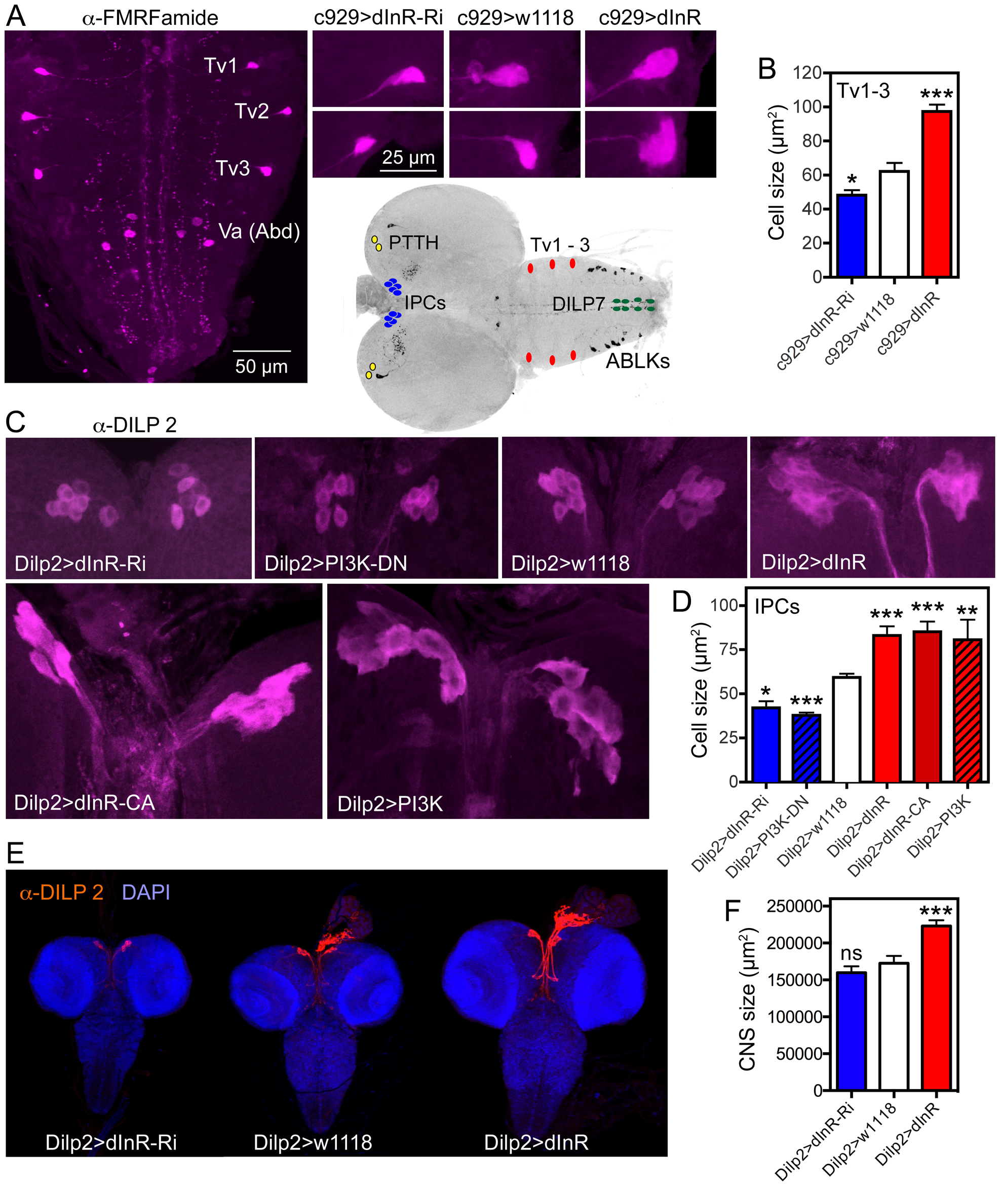 Dimm expressing neurons respond to manipulations of the dInR and PI3K.