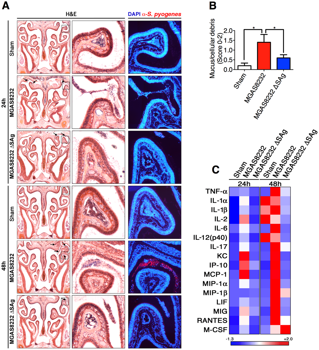 Nasopharyngeal infection of HLA-B6 mice with wild-type <i>S. pyogenes</i> MGAS8232 localizes to the nasal turbinates and induces a SAg-dependent inflammatory response.