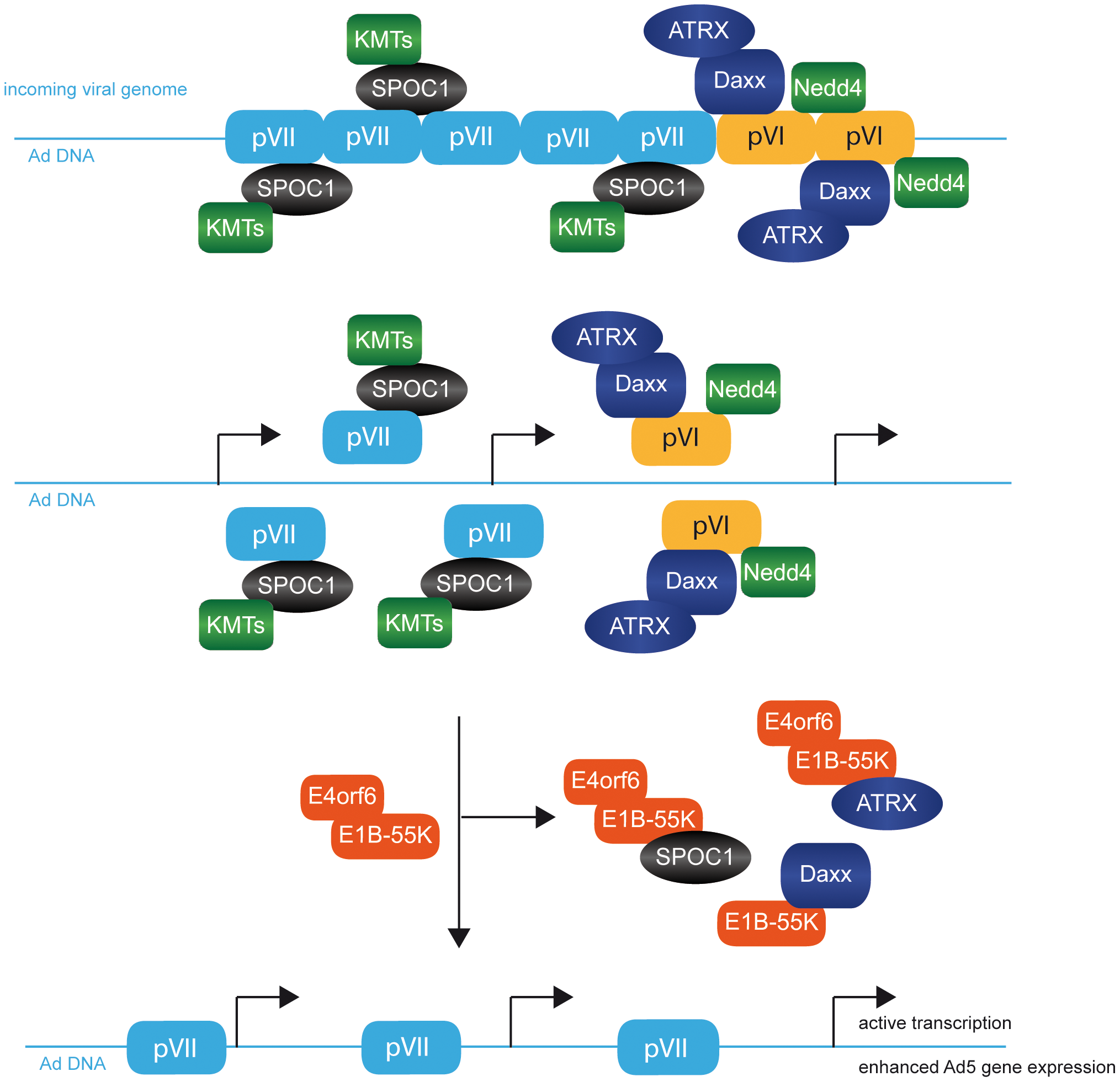 Model for factors involved in early stages after Ad5 virus infection.