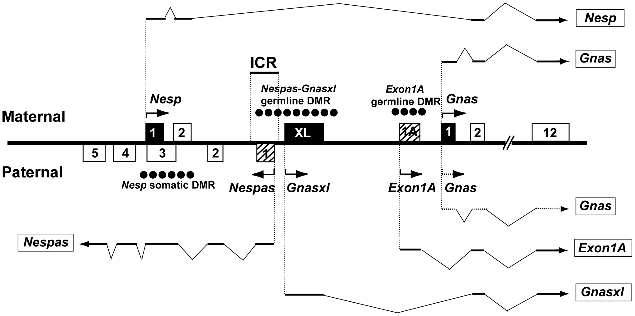 Overview of the mouse <i>Gnas</i> locus showing the organisation of the protein-coding transcripts <i>Nesp</i>, <i>Gnasxl</i>, and <i>Gnas</i> and the paternally expressed non-coding transcripts <i>Nespas</i> and <i>Exon1A</i>.