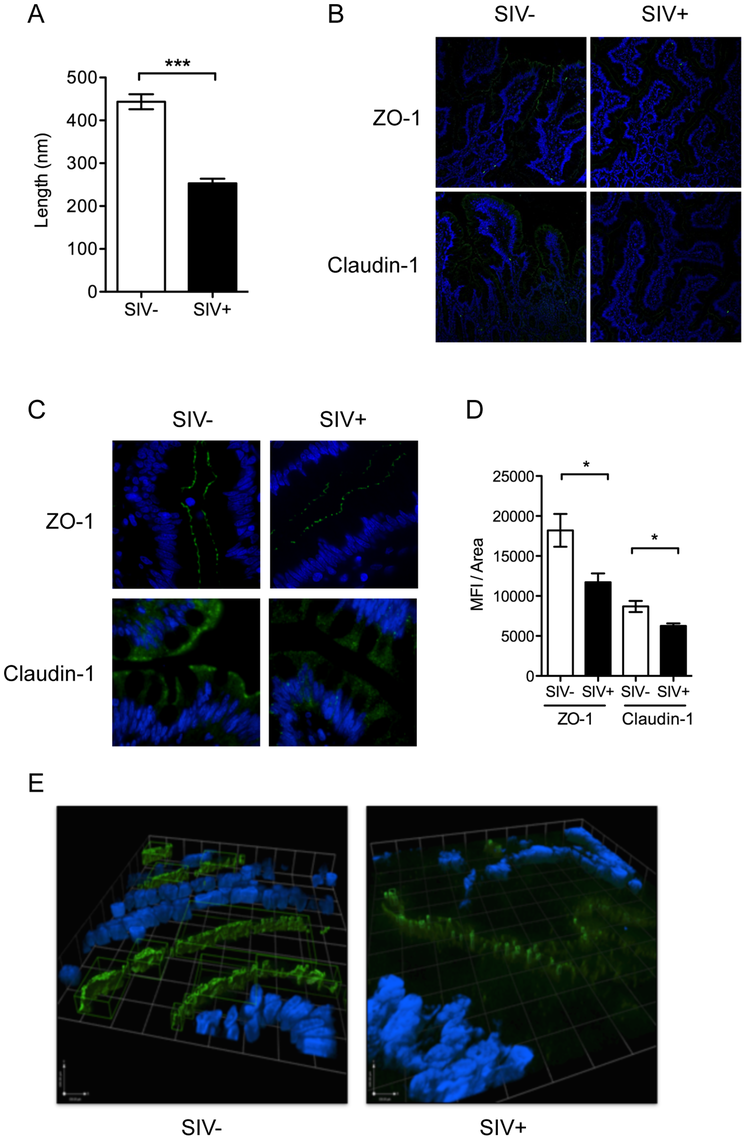 Intestinal epithelial barrier is an early target of SIV infection.
