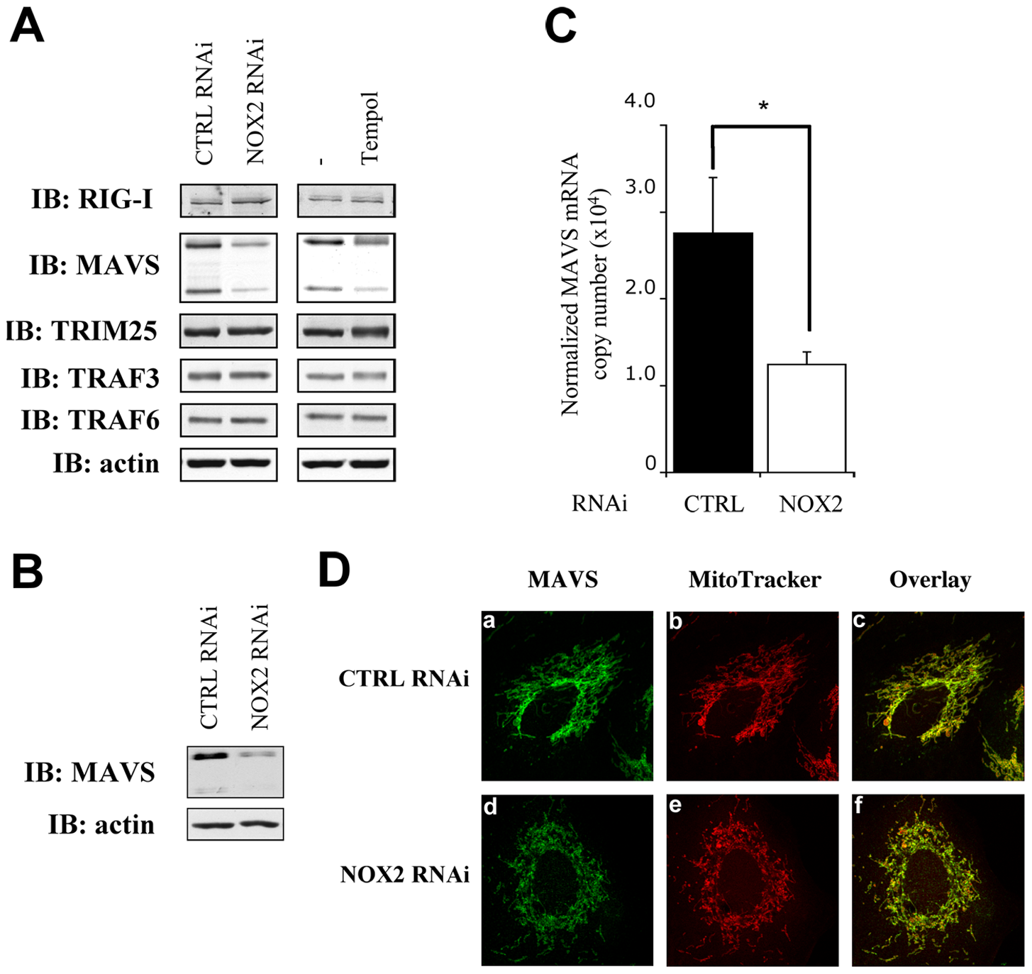 NOX2 downregulation or ROS scavenging diminishes MAVS mRNA expression without affecting its subcellular localization.