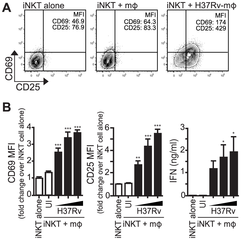 iNKT cells are activated by Mtb-infected mϕ.