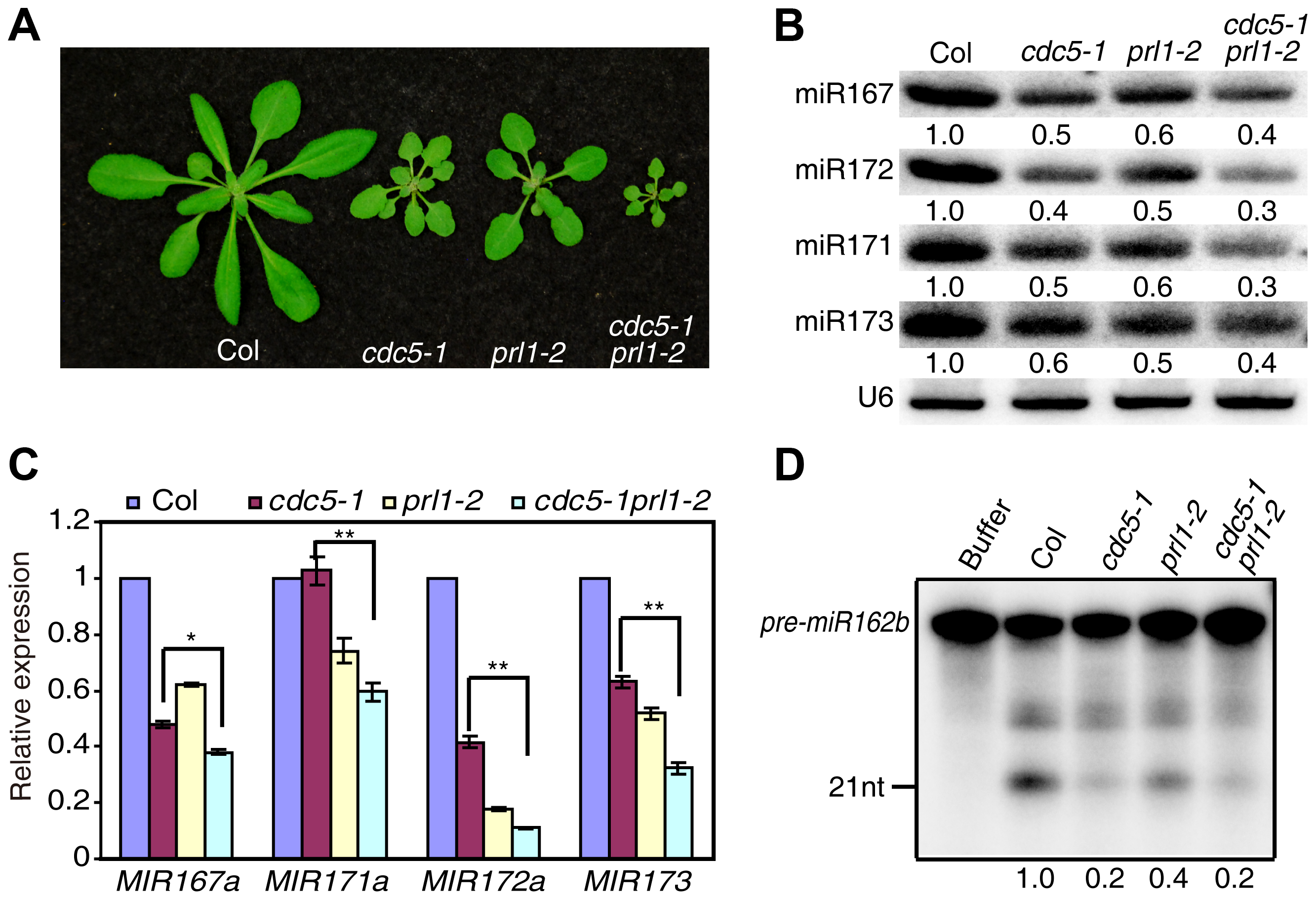 PRL1 and CDC5 synergistically regulate miRNA accumulation.