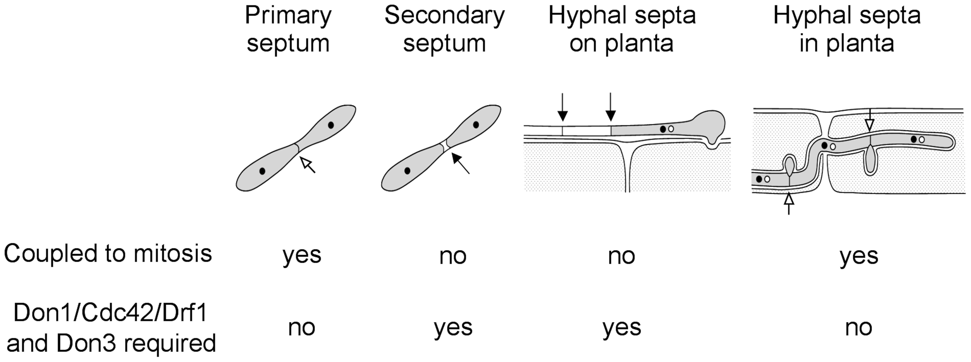 The Cdc42 signaling network regulates septation events that are uncoupled to mitosis.