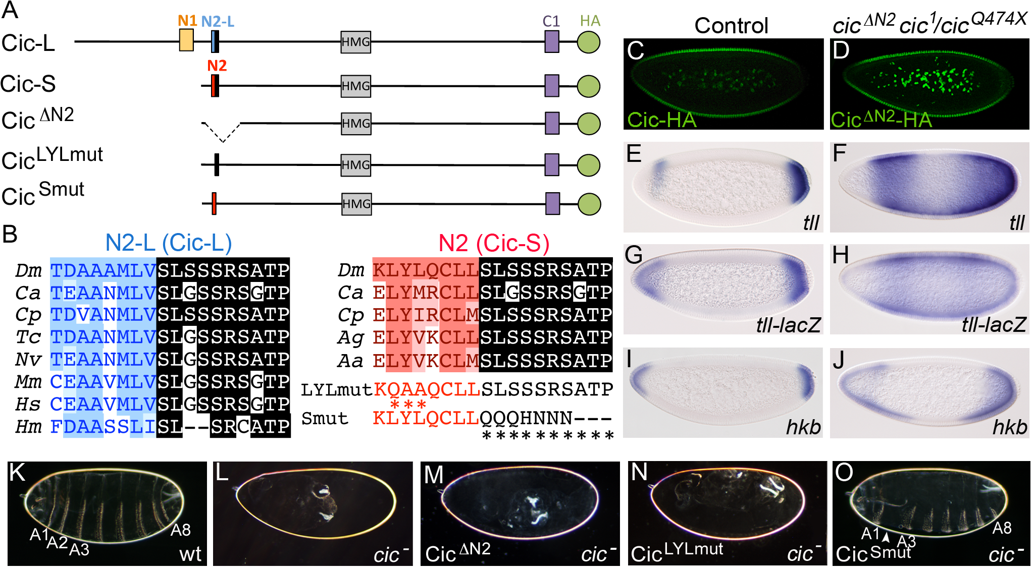 The N2 motif is essential for Cic embryonic function.