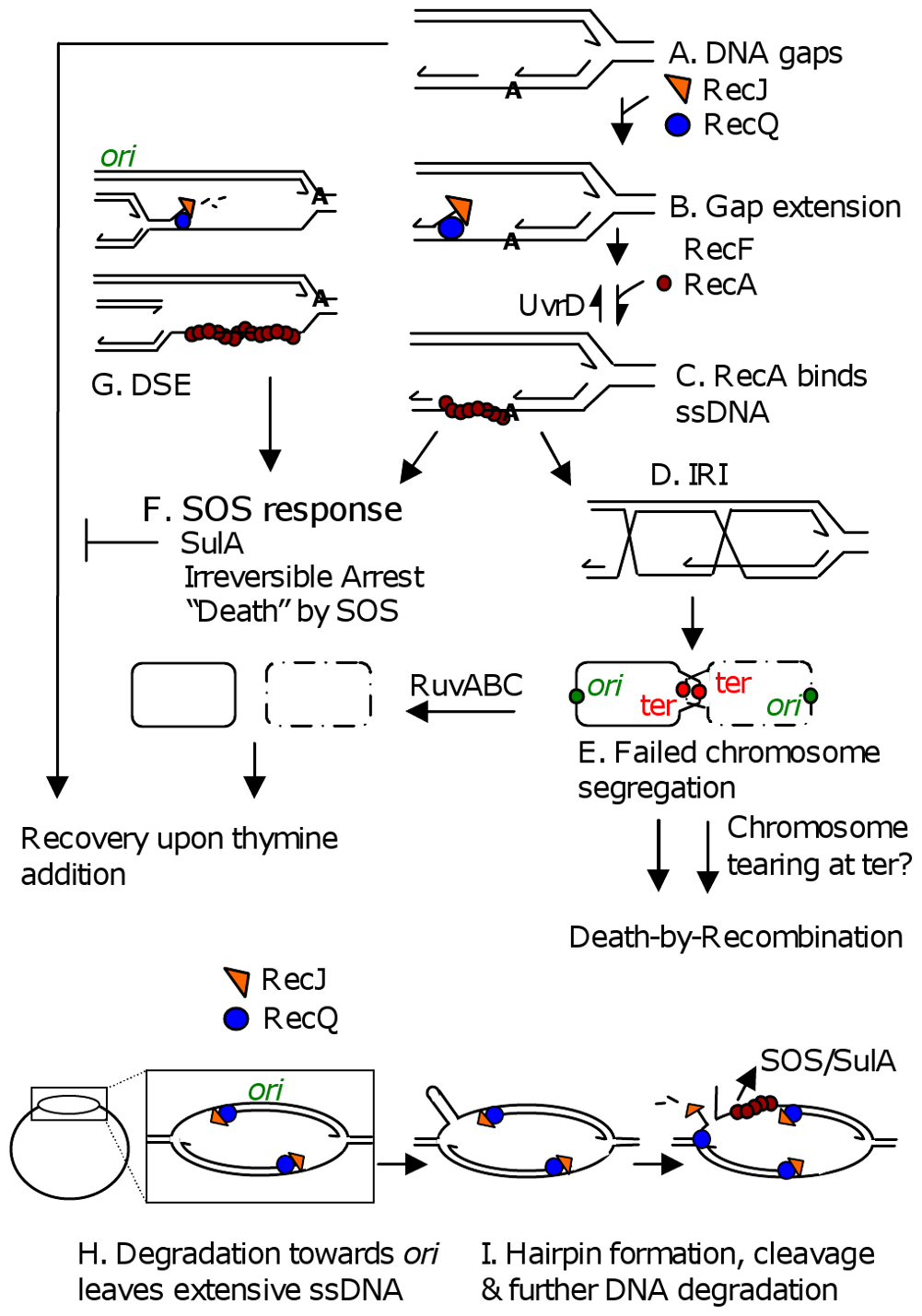 Models for TLD by SOS, death-by-recombination, and RecQ/J-promoted DNA destruction.