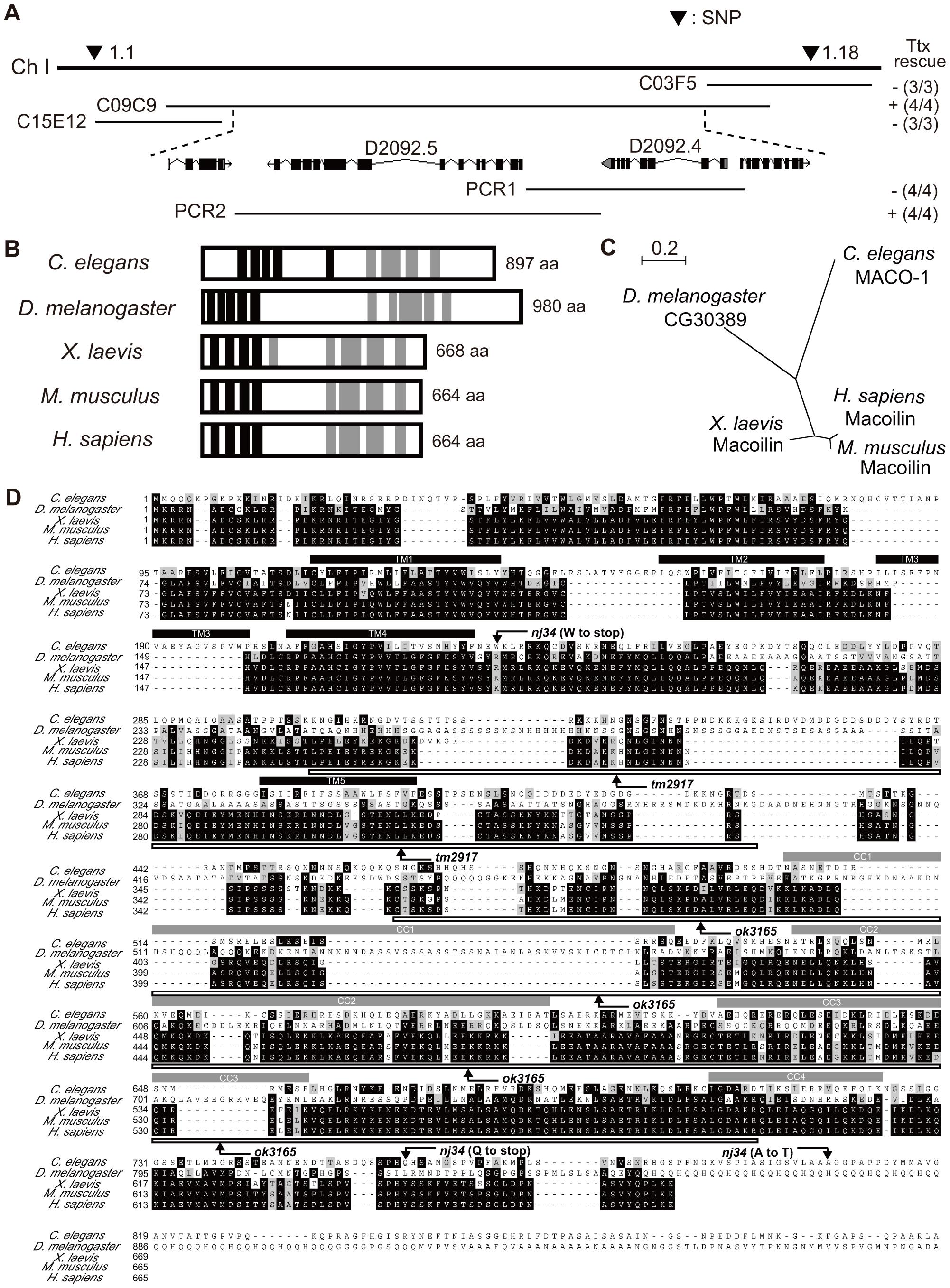 Genetic and molecular analysis of <i>maco-1</i>.