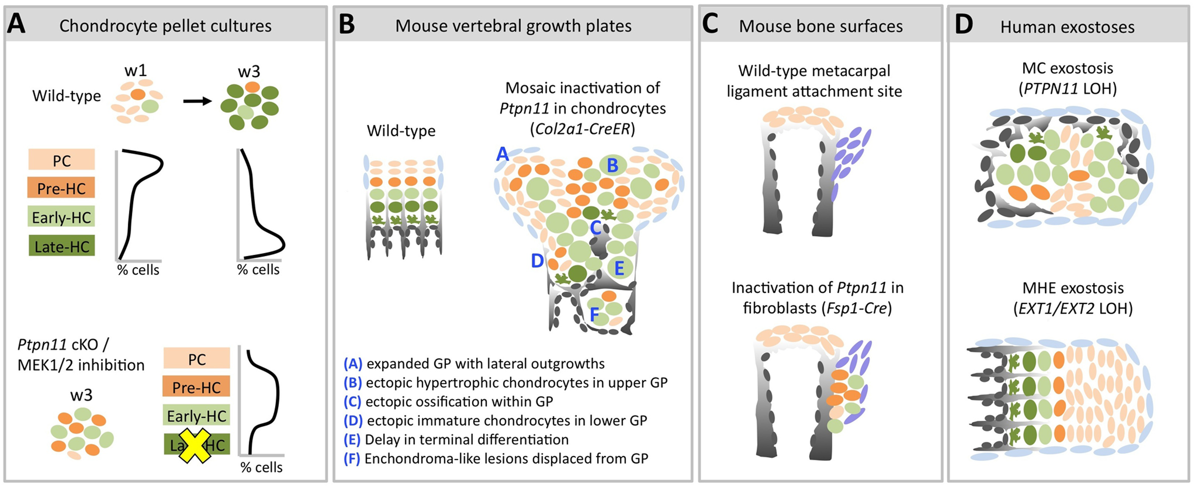 Model of the consequences of SHP2 depletion in pellet cultures, mouse vertebral growth plates, periarticular fibroblasts and human MC exostoses.