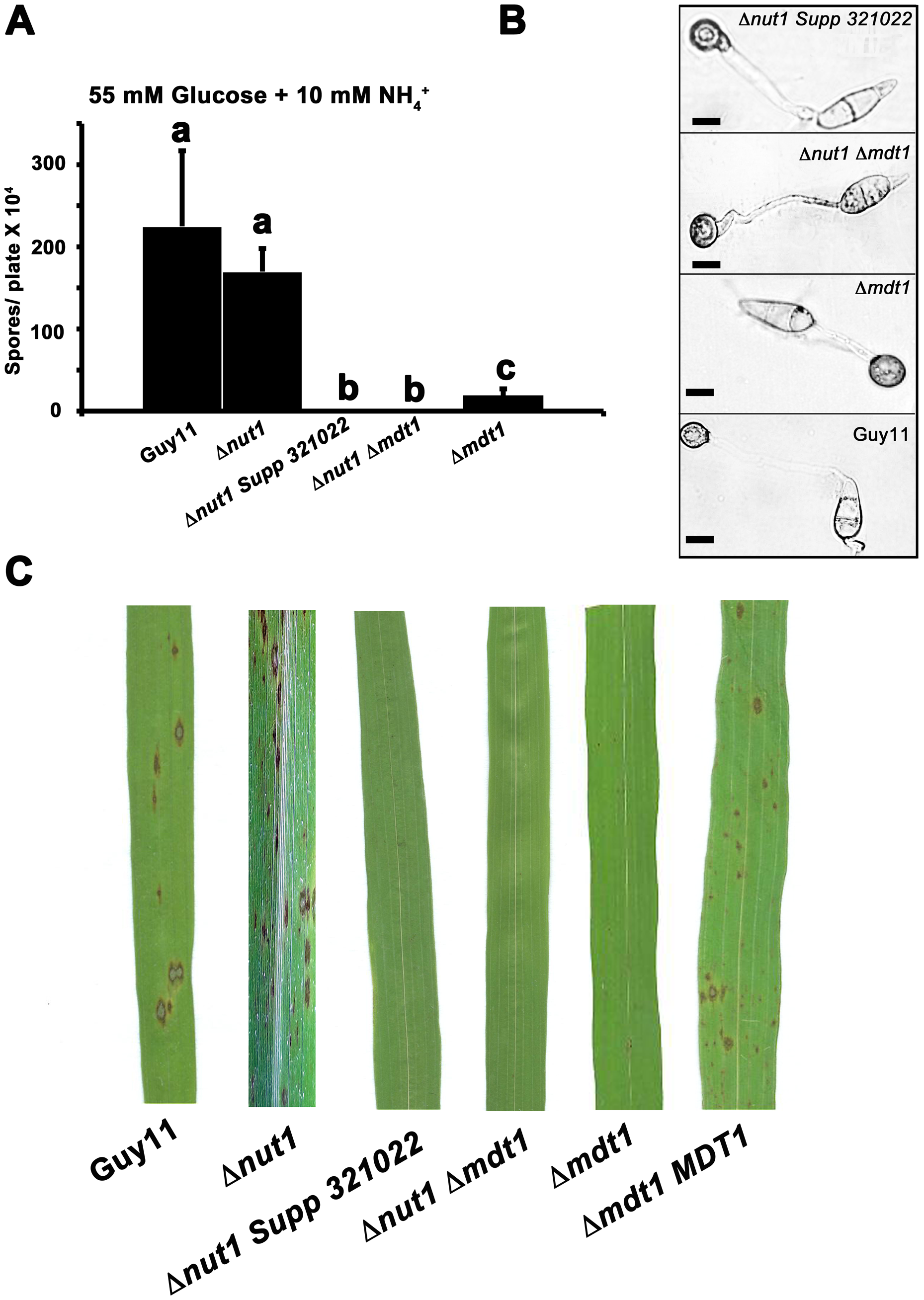 Disrupting Mdt1 function affects sporulation and pathogenesis.