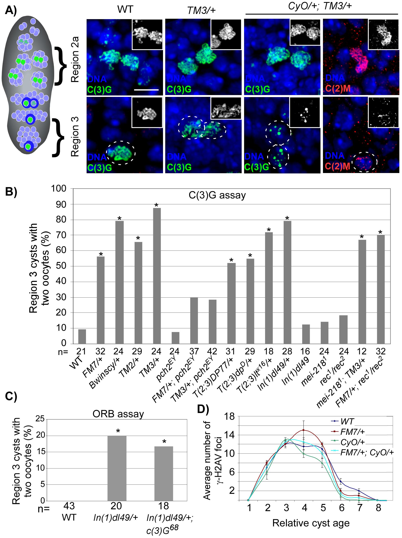 SC deterioration and pachytene delays in balancer heterozygotes.
