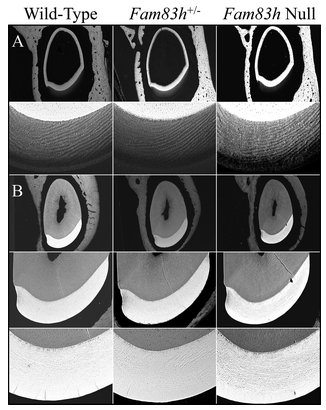 Figure 6.  bSEM of 7-week Mandibular Incisor Cross Sections. A: Sections from level 3, at or nearing the end of the secretory stage. The enamel layer is similar in overall thickness and rod pattern. B: Sections from level 8, at the position of the alveolar crest show that the enamel in all three genotypes has similar thickness, rod pattern, and degree of mineralization.