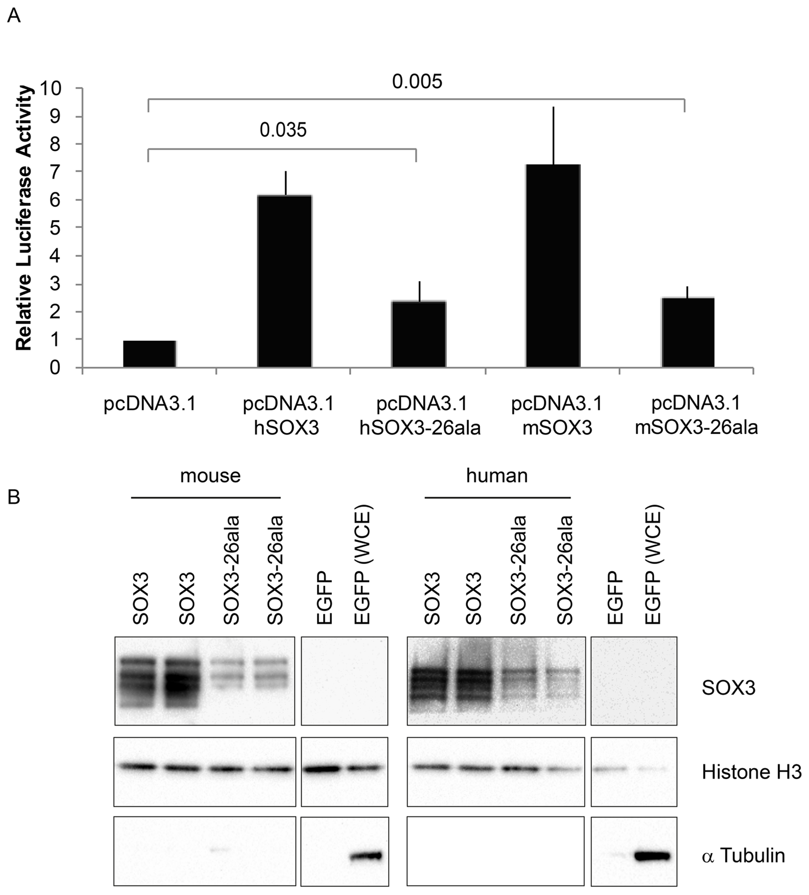 SOX3-26ala from mouse and human retains transactivation activity.