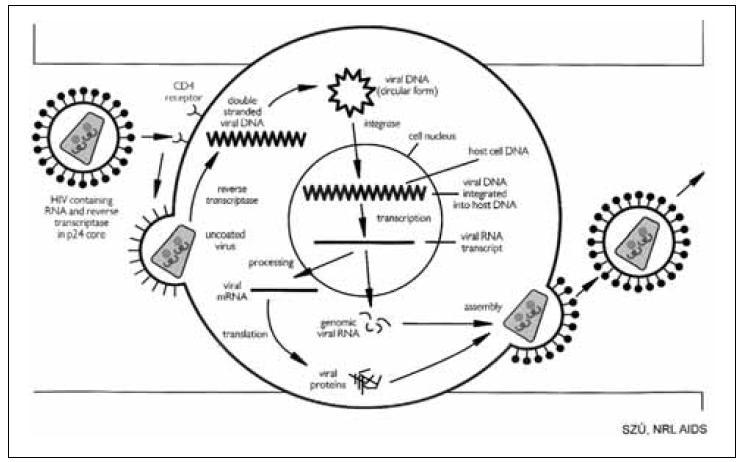 Schéma replikačního cyklu HIV Fig. 5. Schematic representation of HIV replication cycle