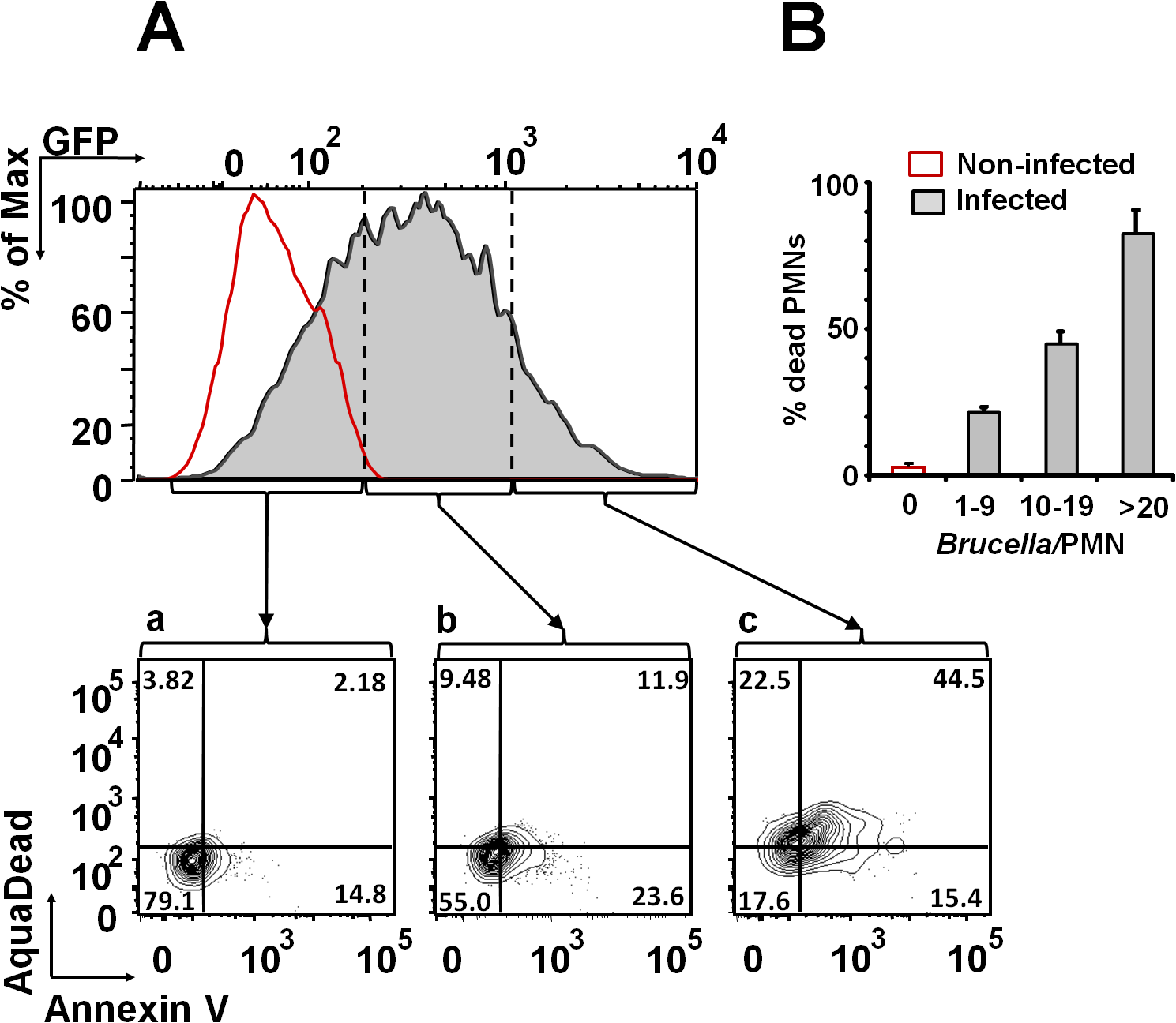 <i>B</i>. <i>abortus</i> infection induces PMN cell death in a dose dependent manner.