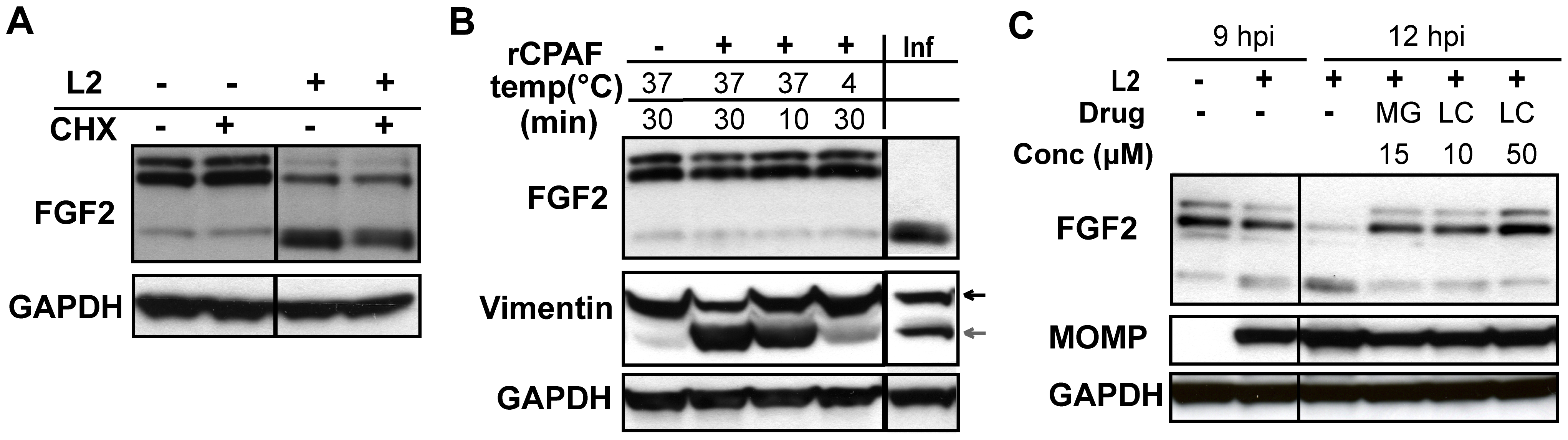 HMW FGF2 isoforms are degraded by <i>C. trachomatis</i> L2-induced host proteases.