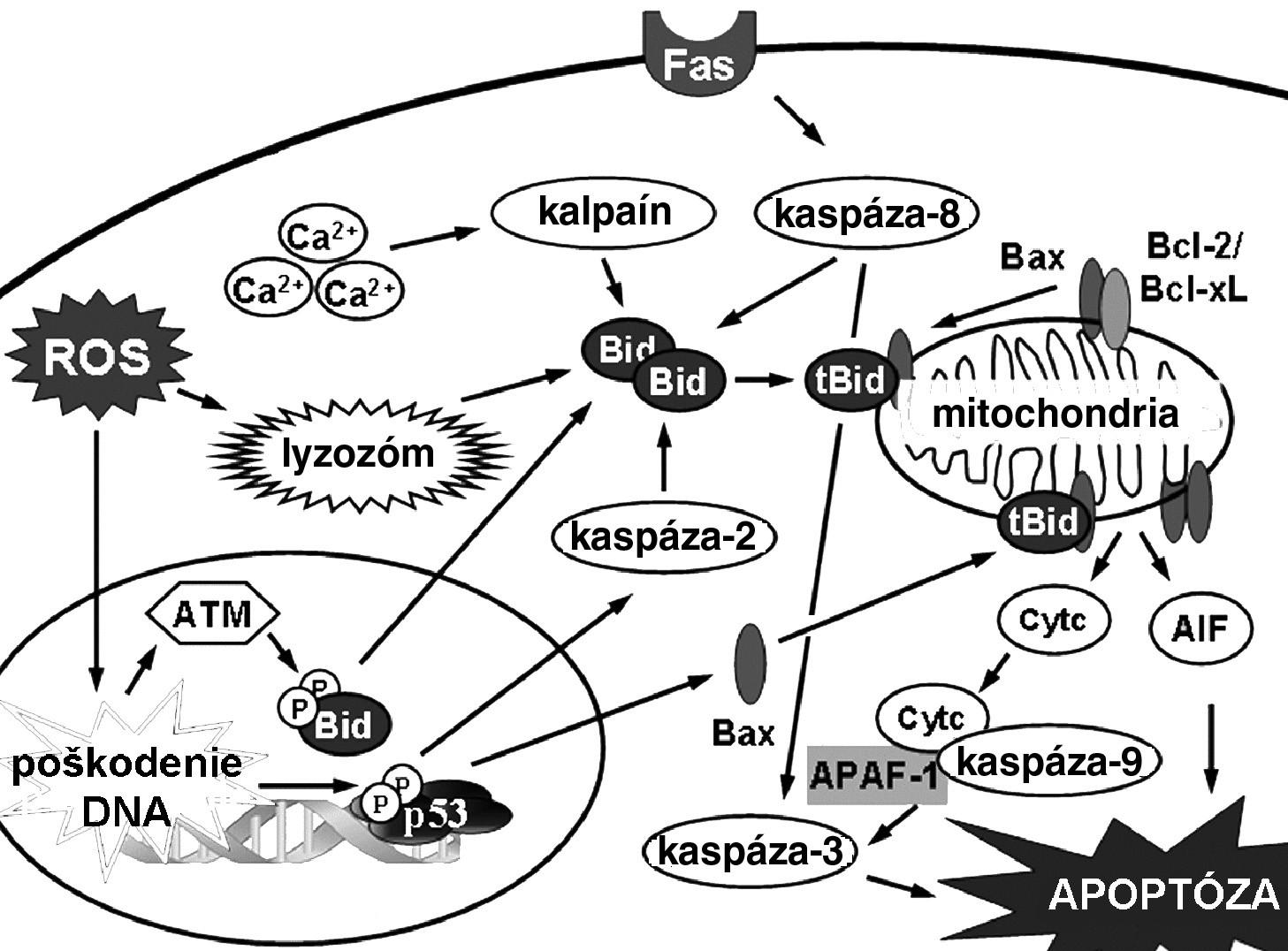 Mechanizmy indukcie apoptózy v bunke 17)