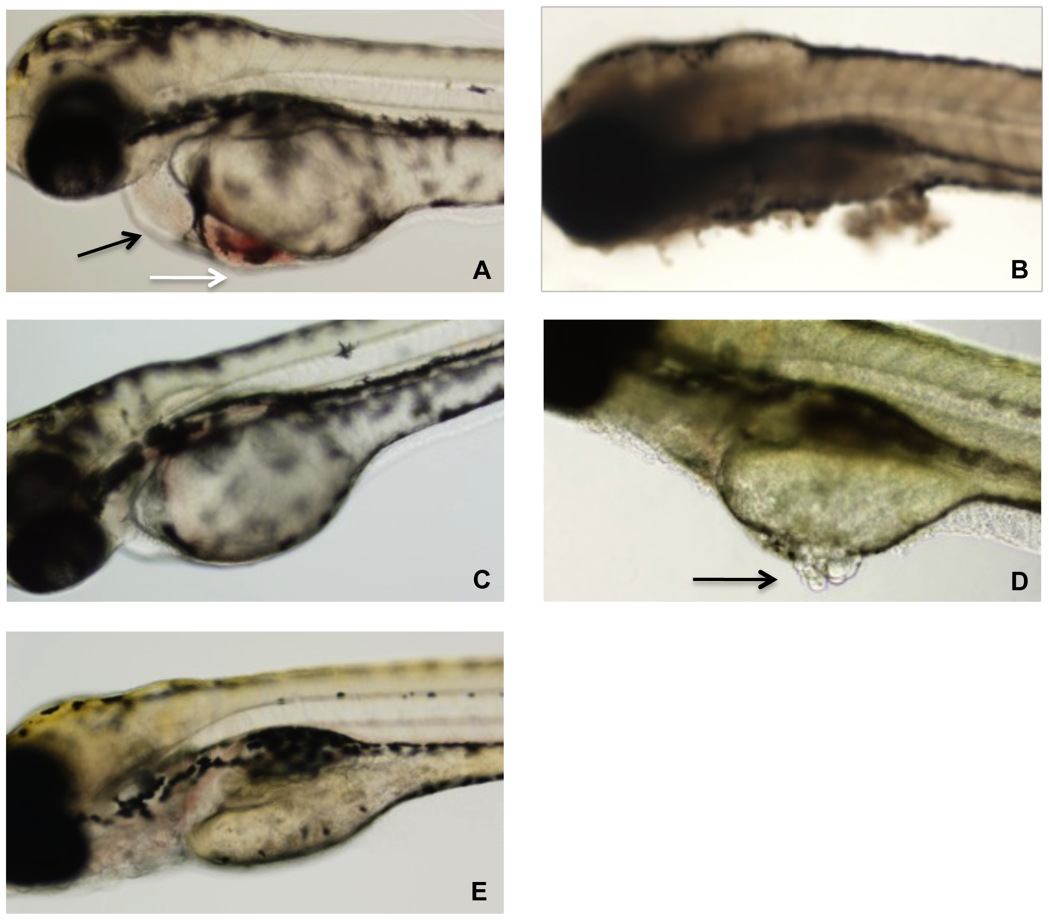 Representative photographs of zebrafish after 24 h exposure to TcdB.