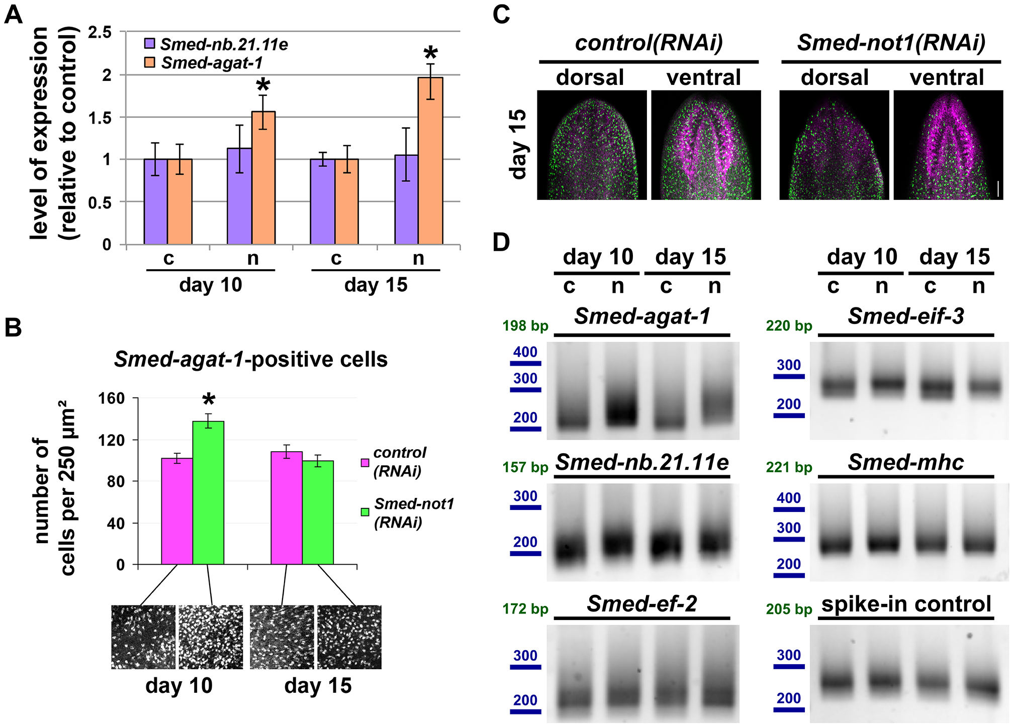 <i>Smed-not1(RNAi)</i> animals have increasing numbers of <i>Smed-agat-1</i> transcripts with increased frequency of long poly(A) tails but decreasing numbers of <i>Smed-agat-1</i>-positive cells.