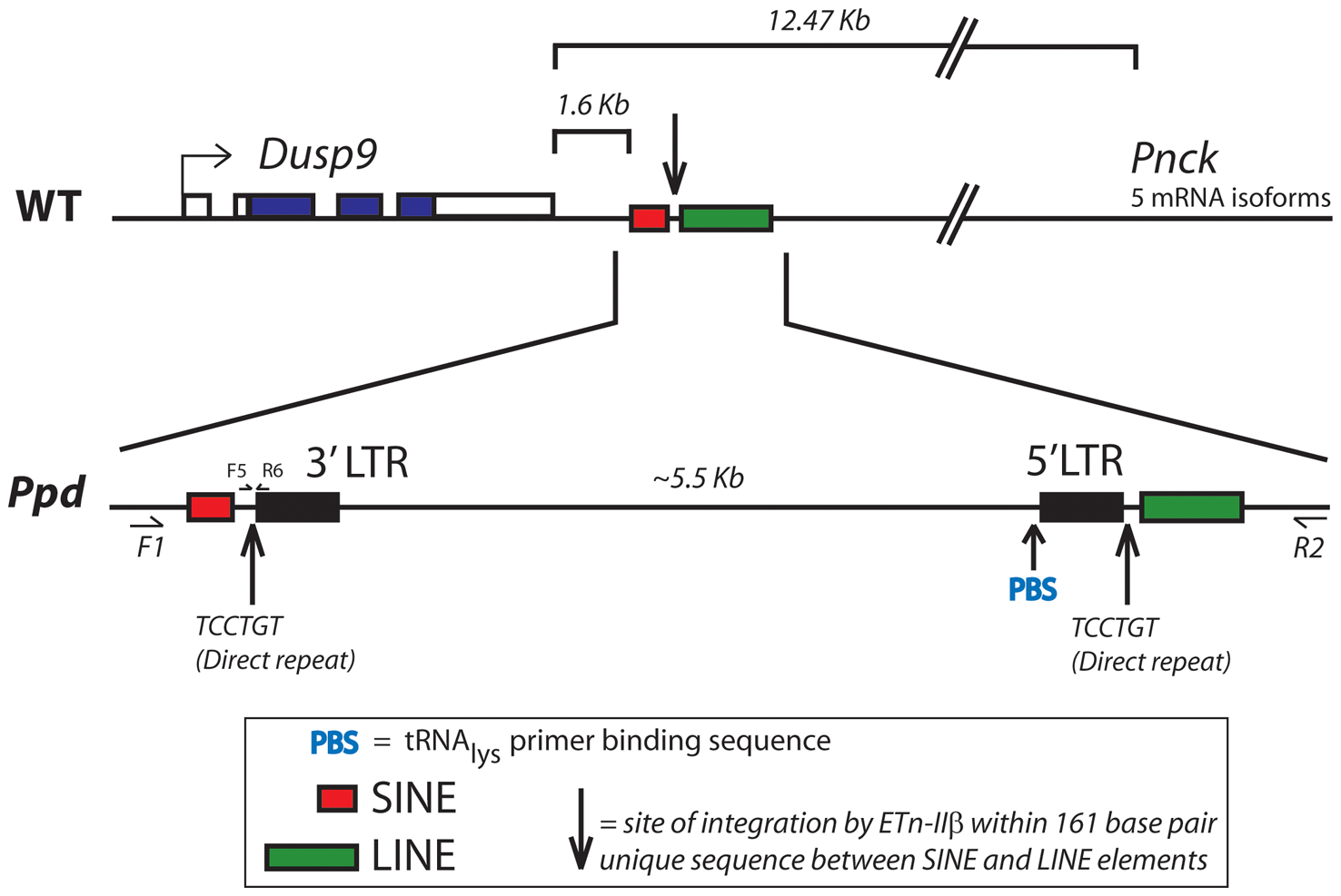 Location and orientation of new ETnII-β insertion in the <i>Ppd</i> genetic interval relative to immediately adjacent genes.
