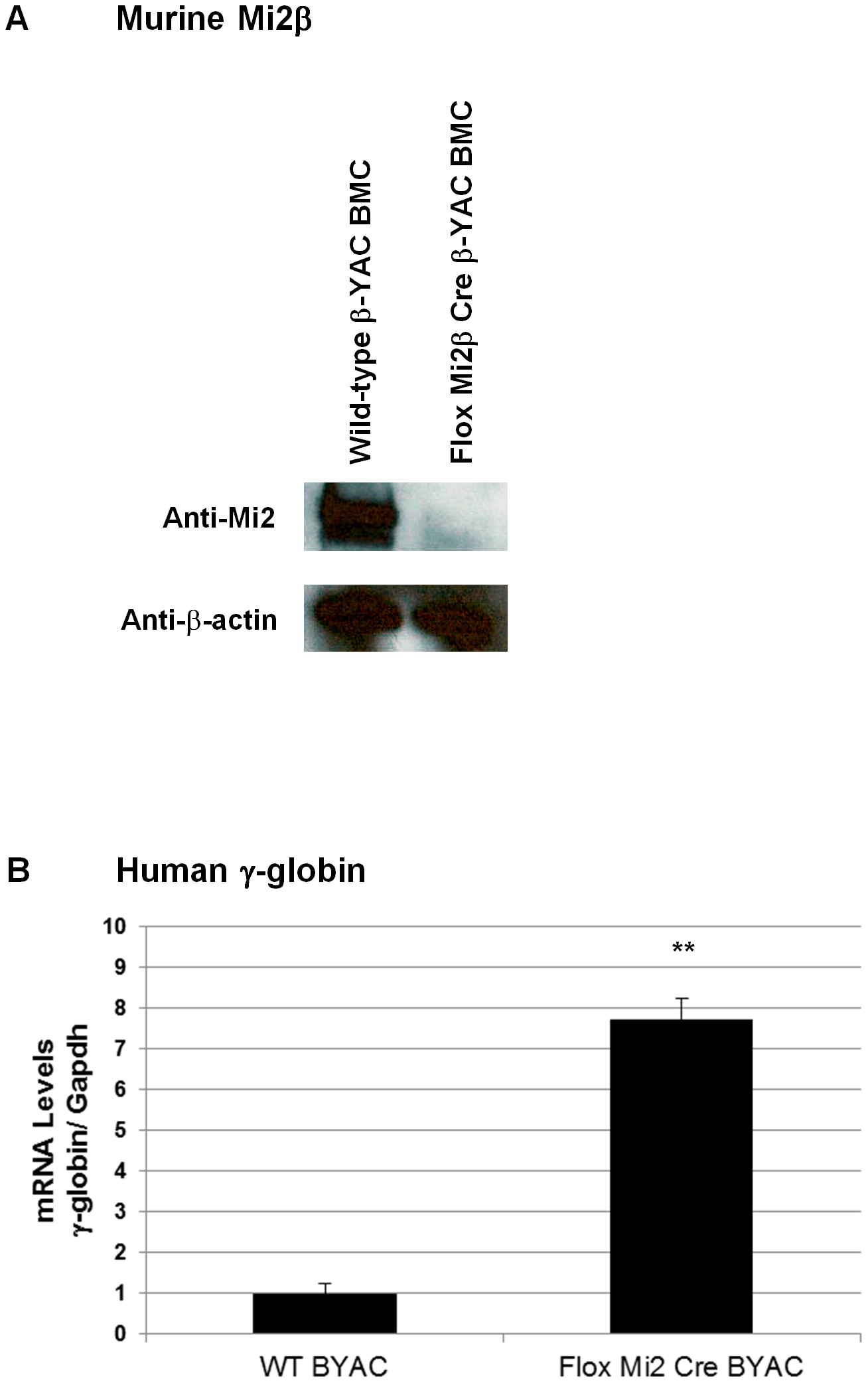 Murine Mi2β protein and human fetal γ-globin mRNA expression in CID-dependent bone marrow cells (BMCs) derived from Mi2β conditional knockout β-YAC transgenic mice.