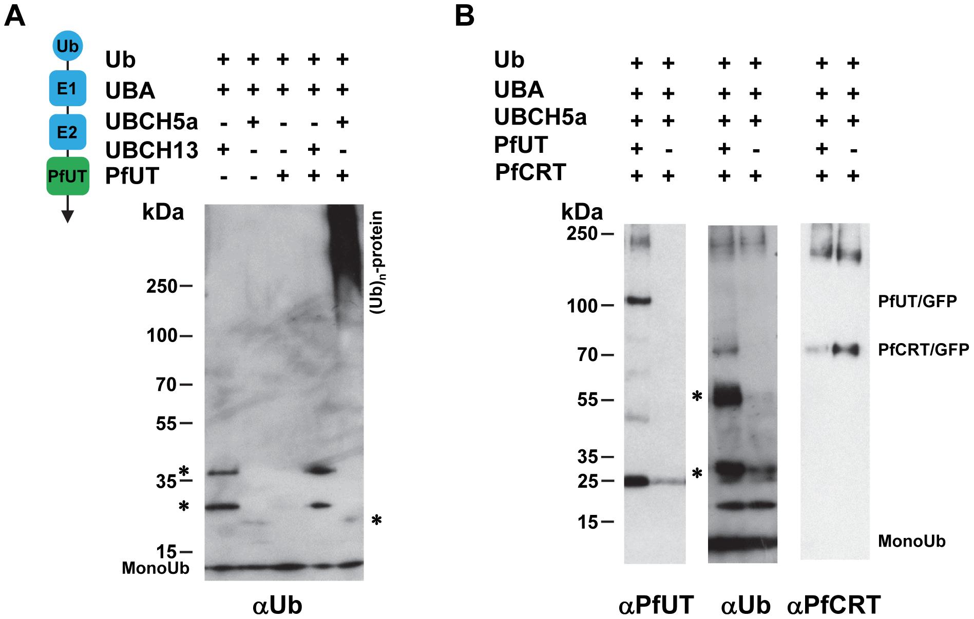 Biochemical characterization of the PfUT HECT domain.