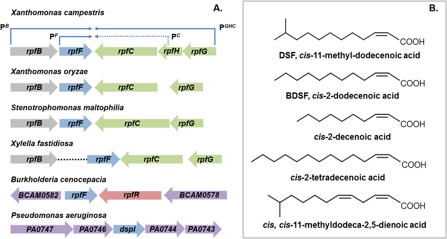 DSF family signals and the organization of <i>rpf</i> gene clusters that direct signal synthesis and perception.