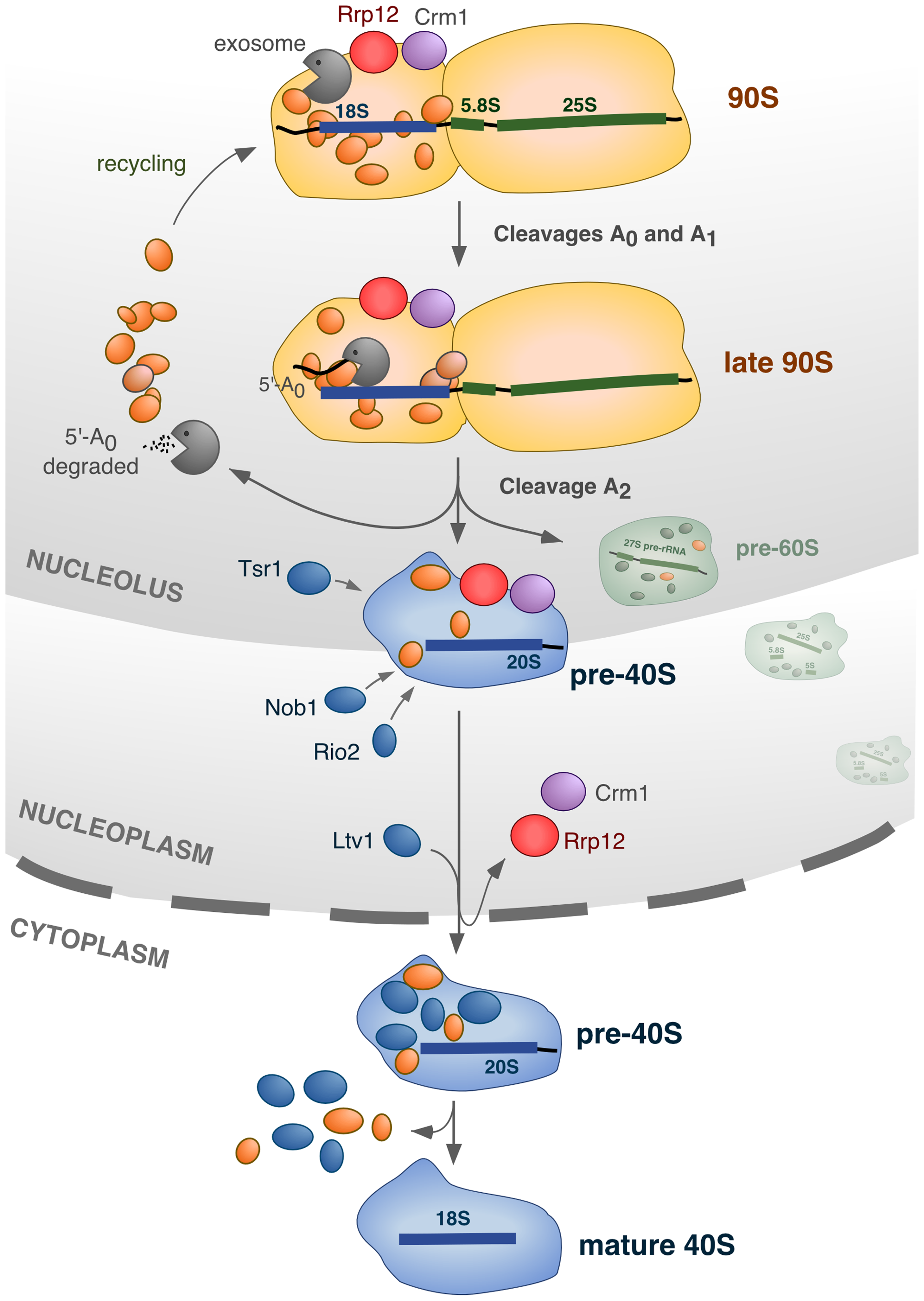 Model for the integration of different processes in the nucleolus during synthesis of 40S subunits.