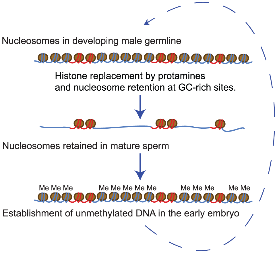 A model for nucleosome retention in human sperm.
