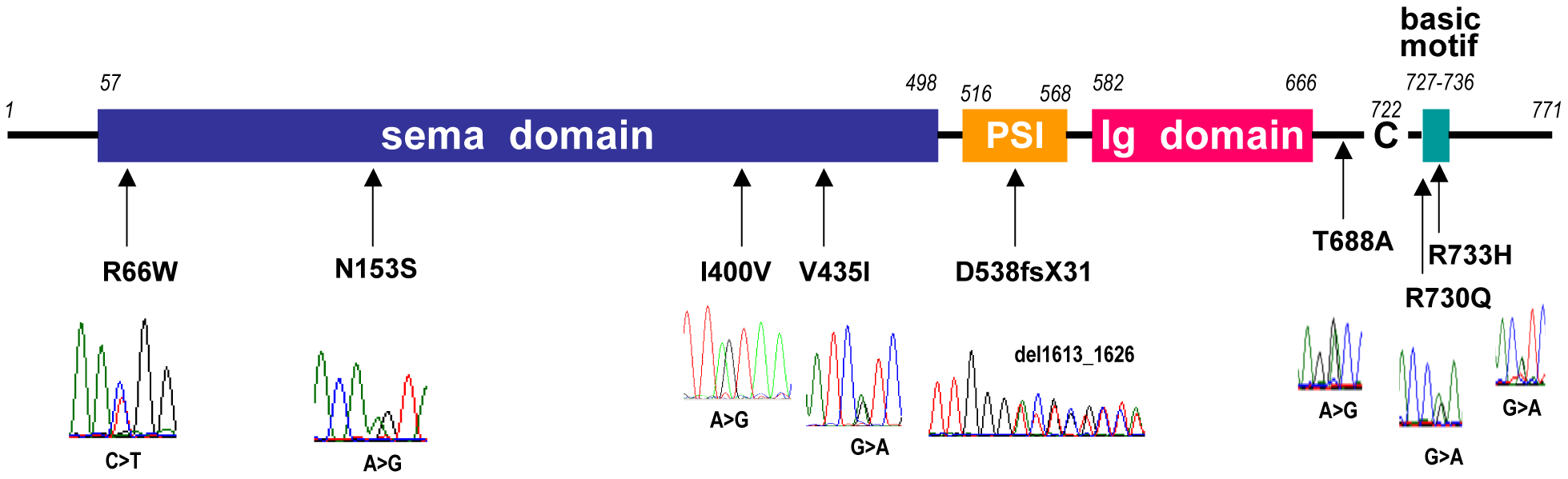 Diagram of Sema3A with the mutations found in Kallmann syndrome patients.