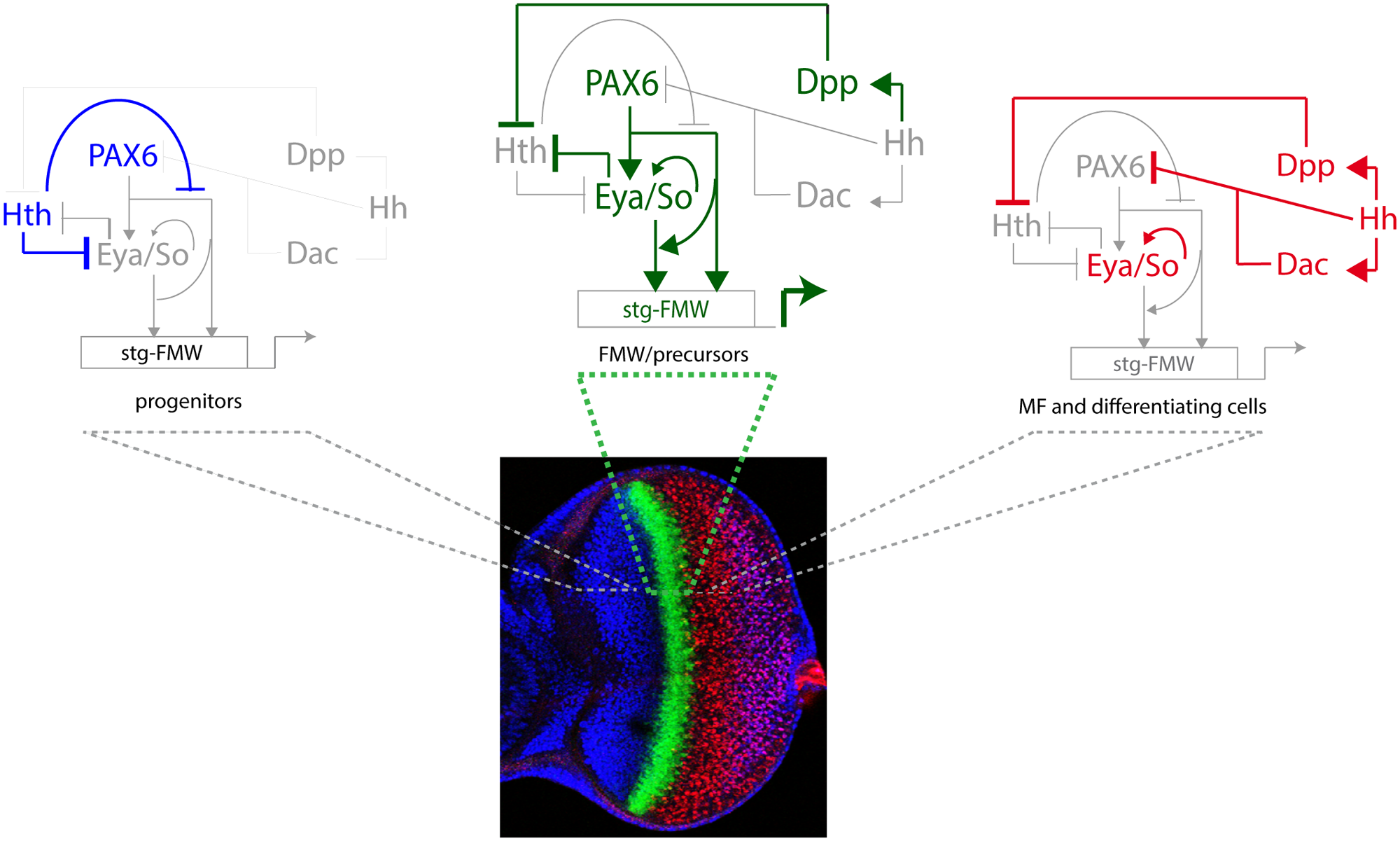 The logic of the eye GRN ensures the pulse activation of the <i>stg-FMW</i> CRE in a narrow stripe.