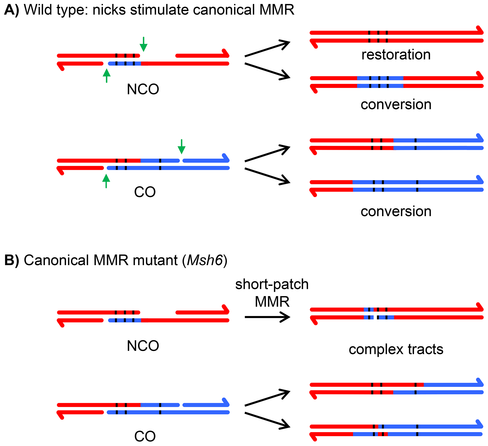 Effects of canonical and short-patch mismatch repair on hDNA correction.