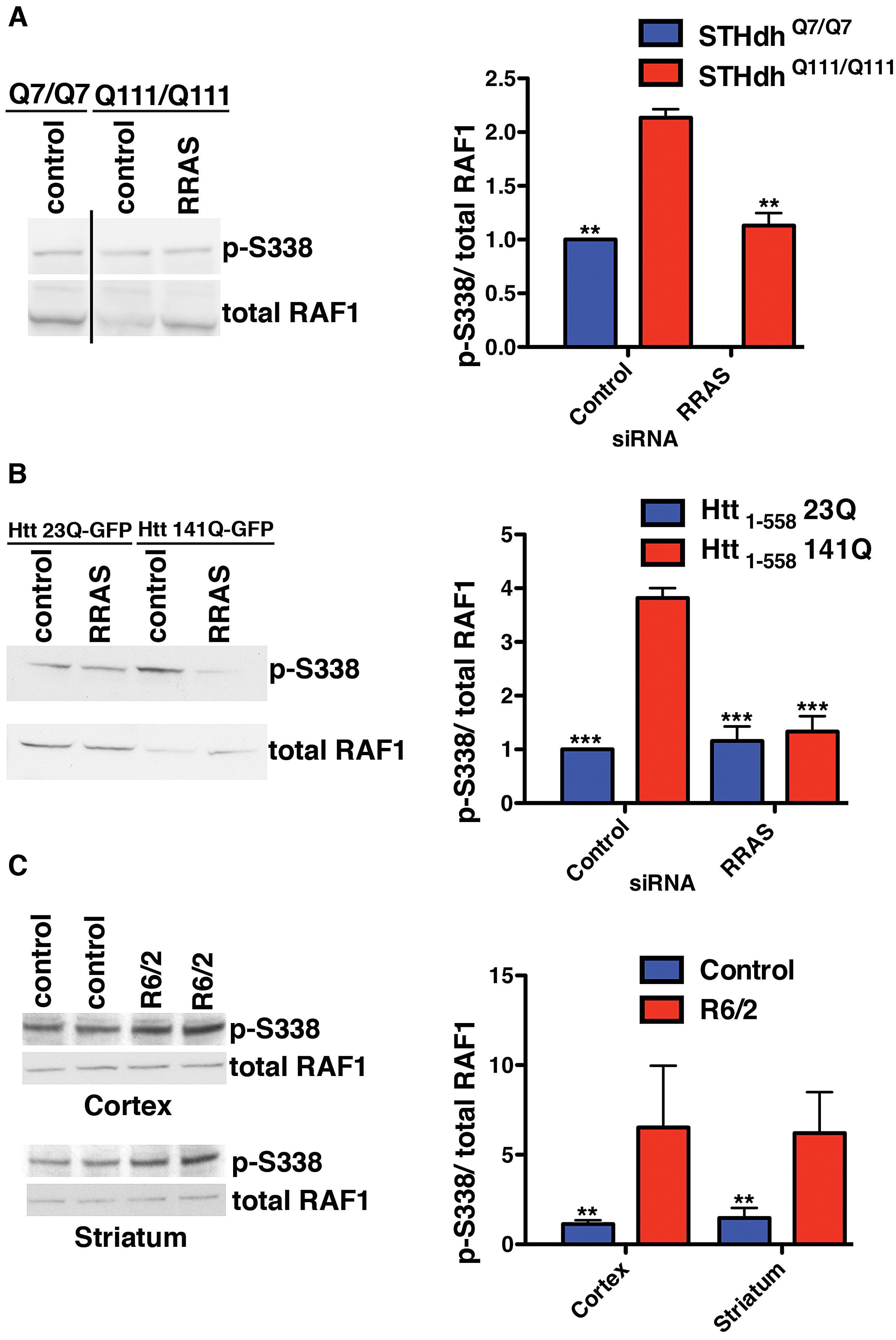 Altered RAF1 Phosphorylation in HD Models Is Rescued by RRAS Inhibition.