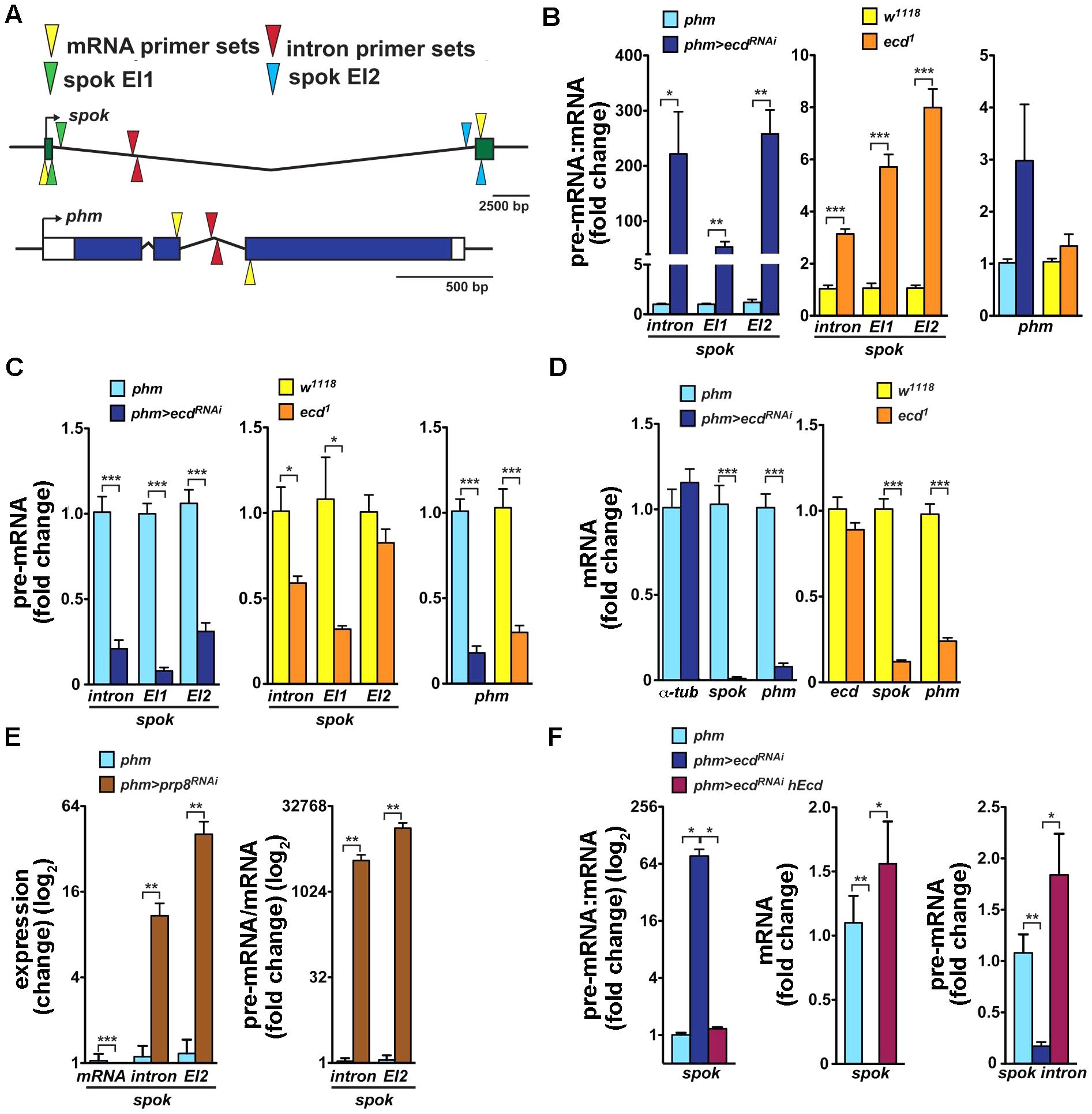 Loss of Ecd interferes with splicing of <i>spok</i> pre-mRNA.