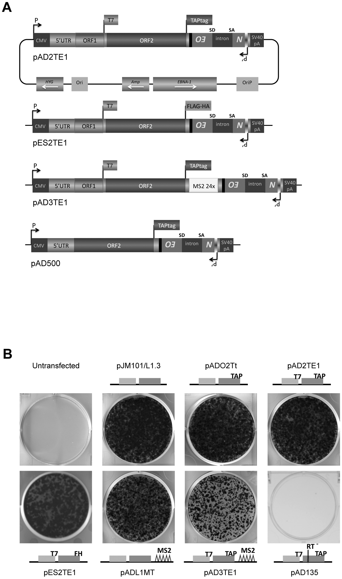 The retrotransposition efficiency of engineered L1s used in this study.