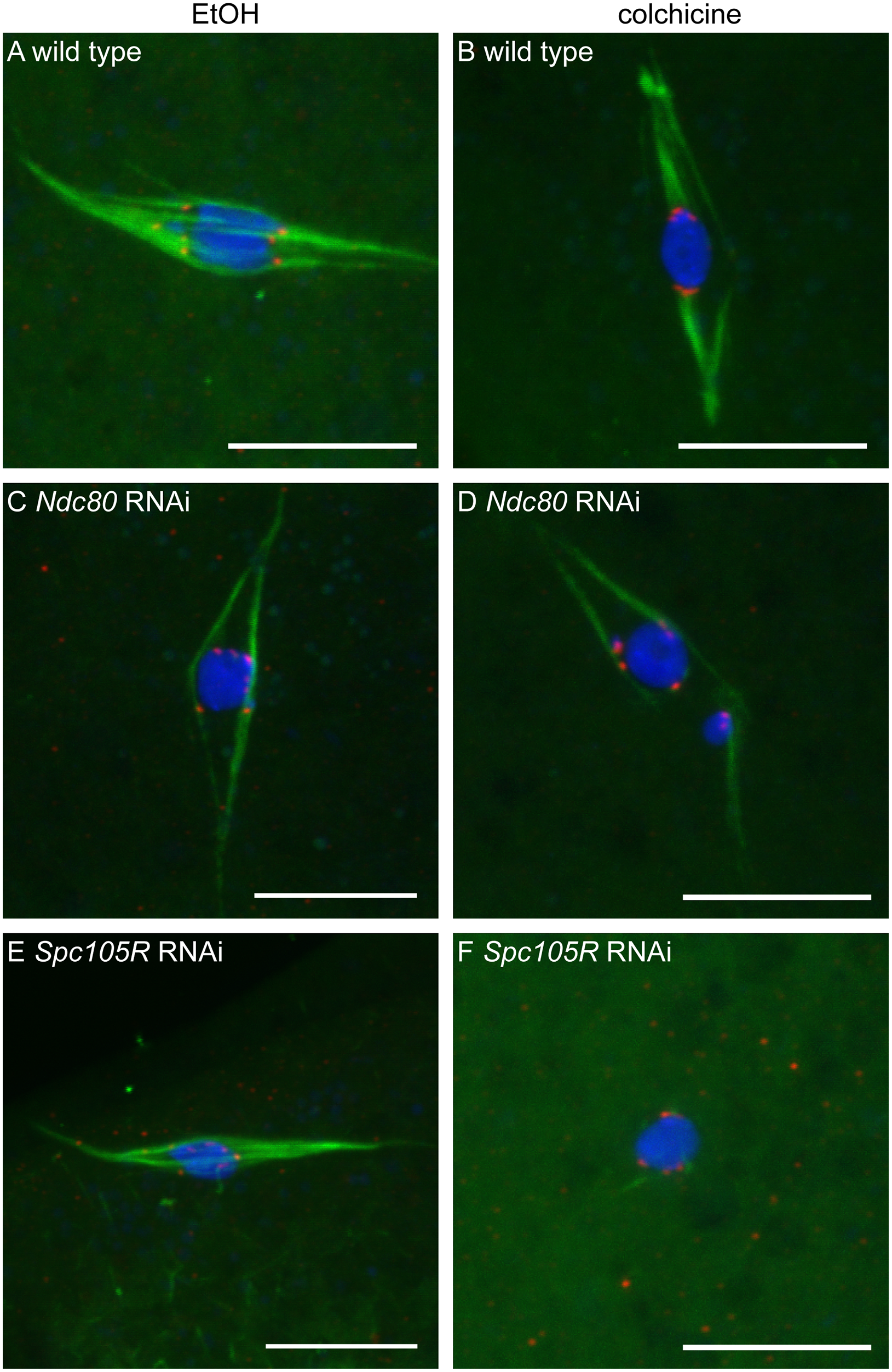 Loss of NDC80 or SPC105R disrupts interactions between kinetochores and microtubules in oocytes.
