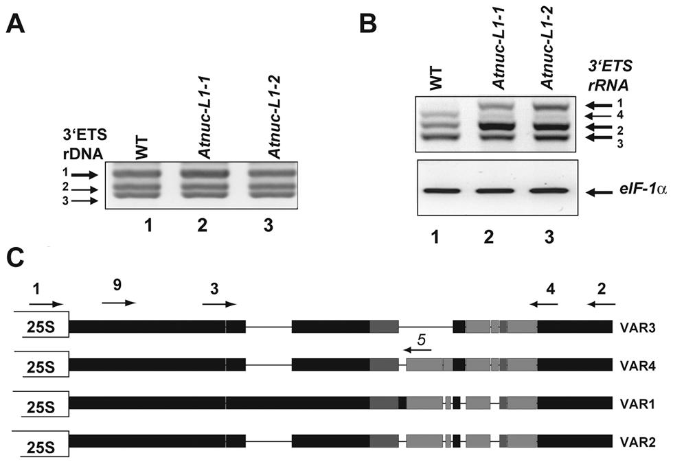 <i>A. thaliana</i> encodes and expresses specific rRNA gene variants.