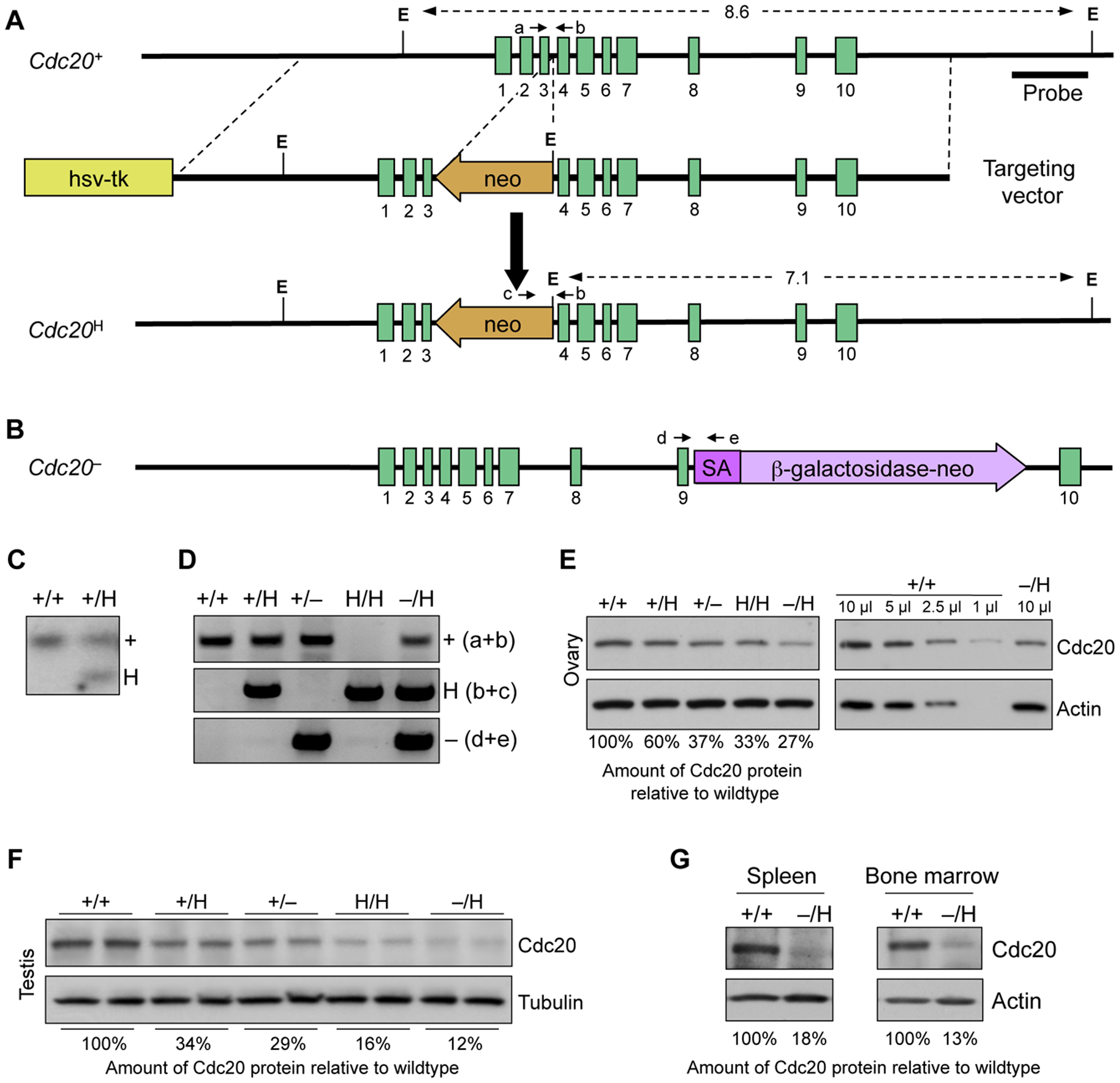 Generation of mice with graded reduction in Cdc20 dosage.