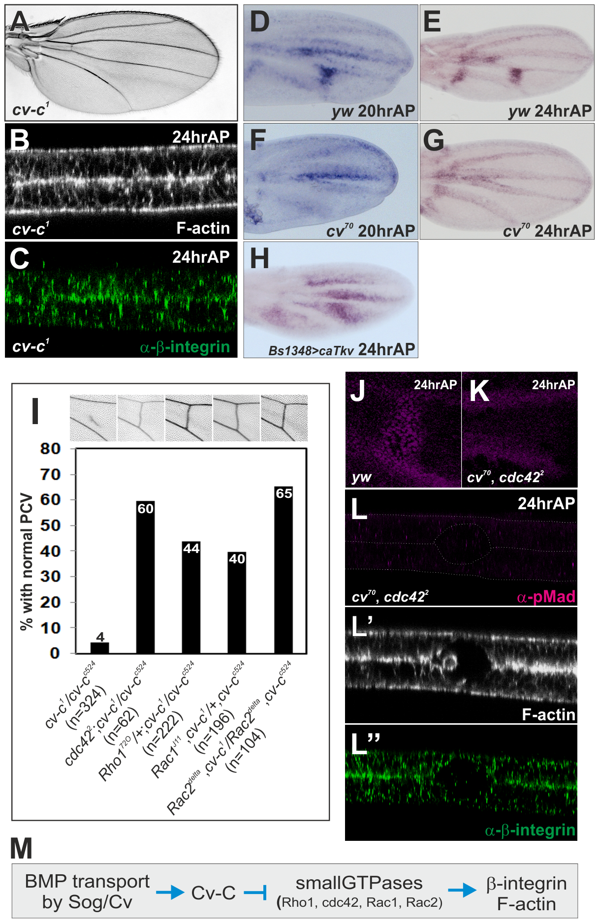 Cv-C mediates PCV morphogenesis downstream of BMP signaling by inactivating various Rho-type small GTPases.