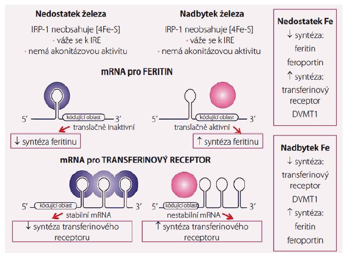Regulace tvorby feritinu, transferinového receptoru, feroportinu a DVMT-1 hladinou nitrobuněčného železa v tzv. labilním poolu cestou vazby IRP na IRE.