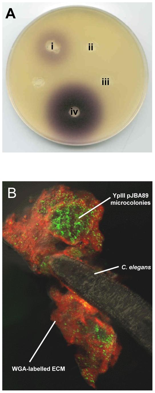 AHLs are produced in <i>Y. pseudotuberculosis</i> YpIII biofilms on <i>C. elegans</i>.