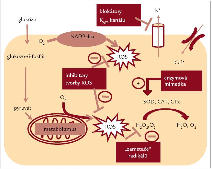 Perspektivní cíle protekce B-buněk proti vlivu oxidačního stresu. Upraveno podle [14].