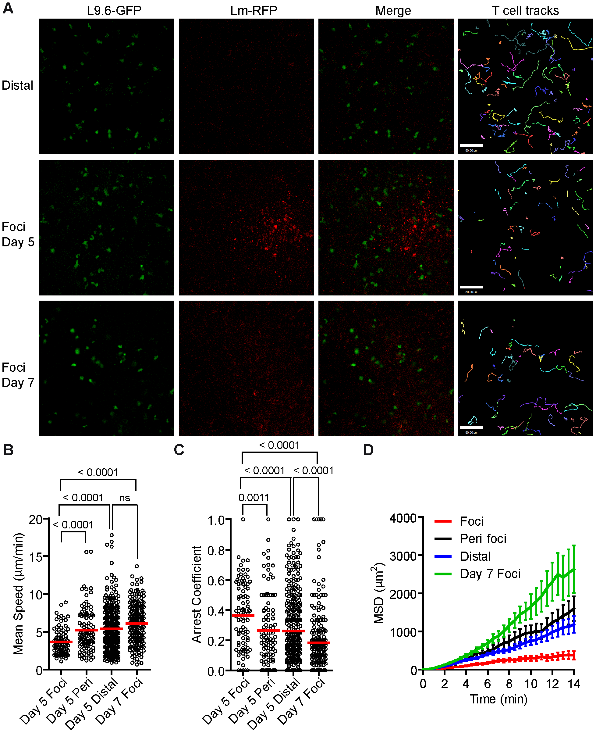 <i>Lm</i> antigen specific CD8<sup>+</sup> T cells have reduced motility within <i>Lm</i> foci.