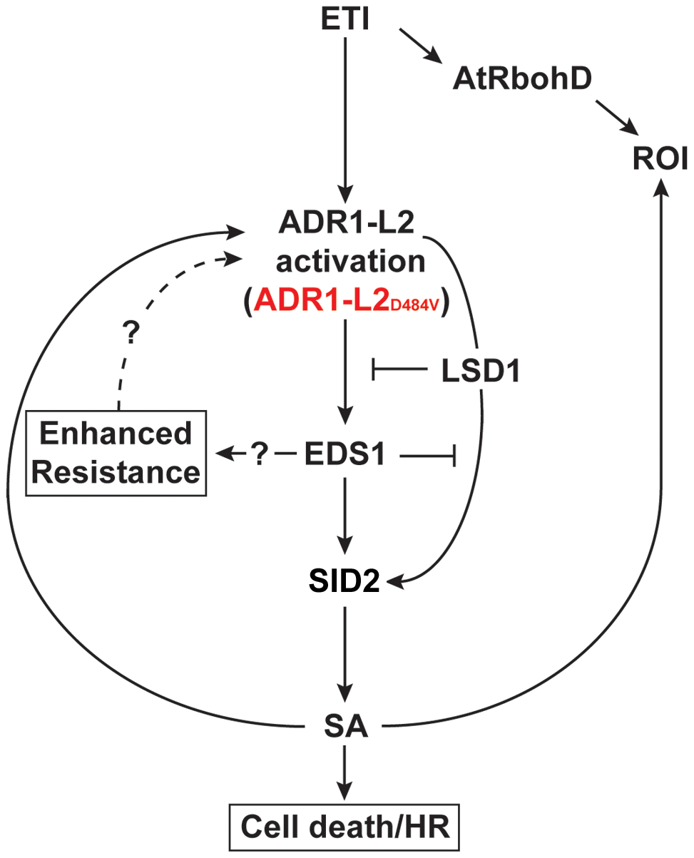 A model for the regulation of ADR1-L2<sub>D484V</sub> activity.