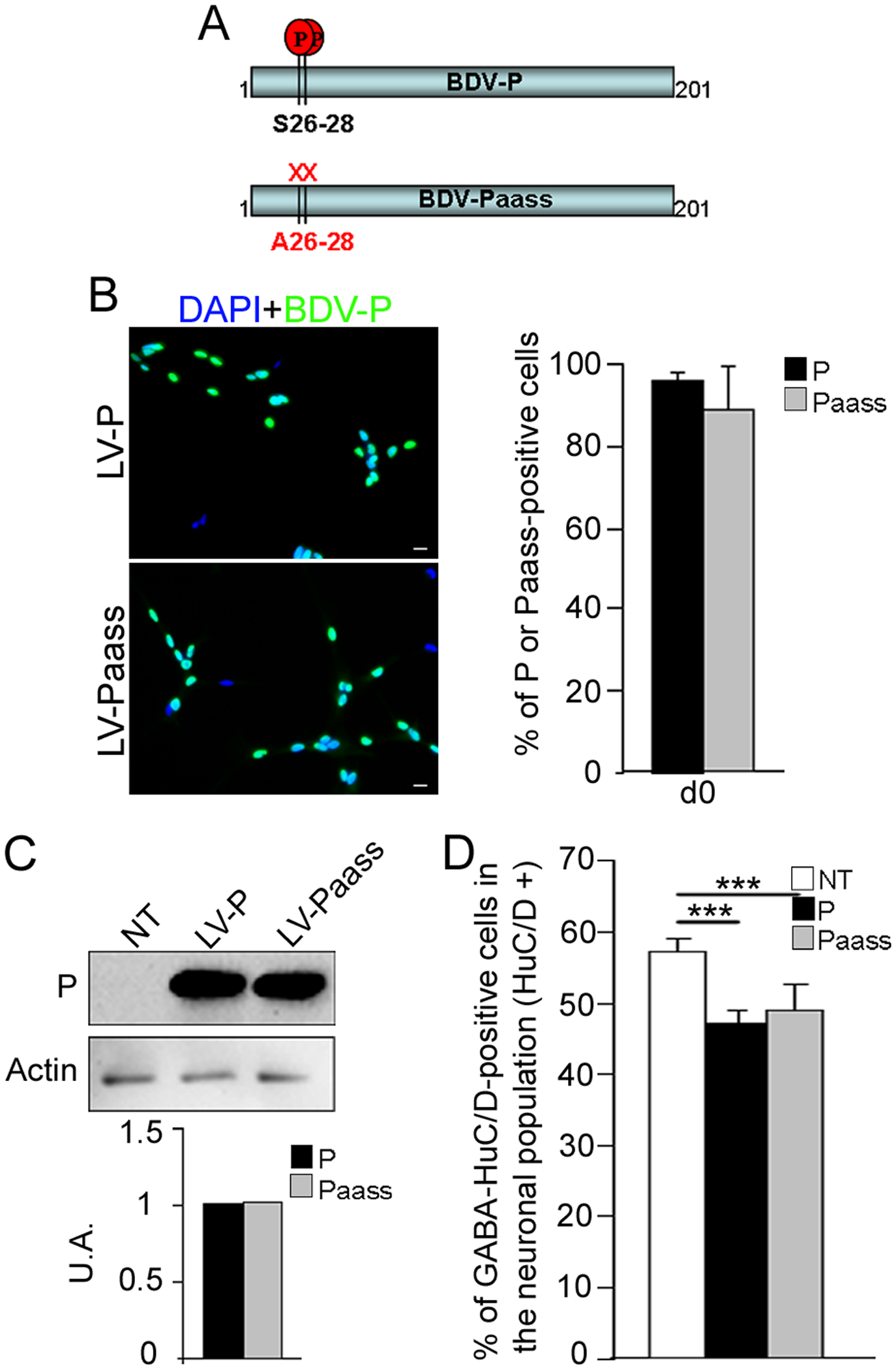 The S26/28 phosphorylation site is not necessary for <i>bdv-p</i>-induced reduction in GABAergic neurogenesis.