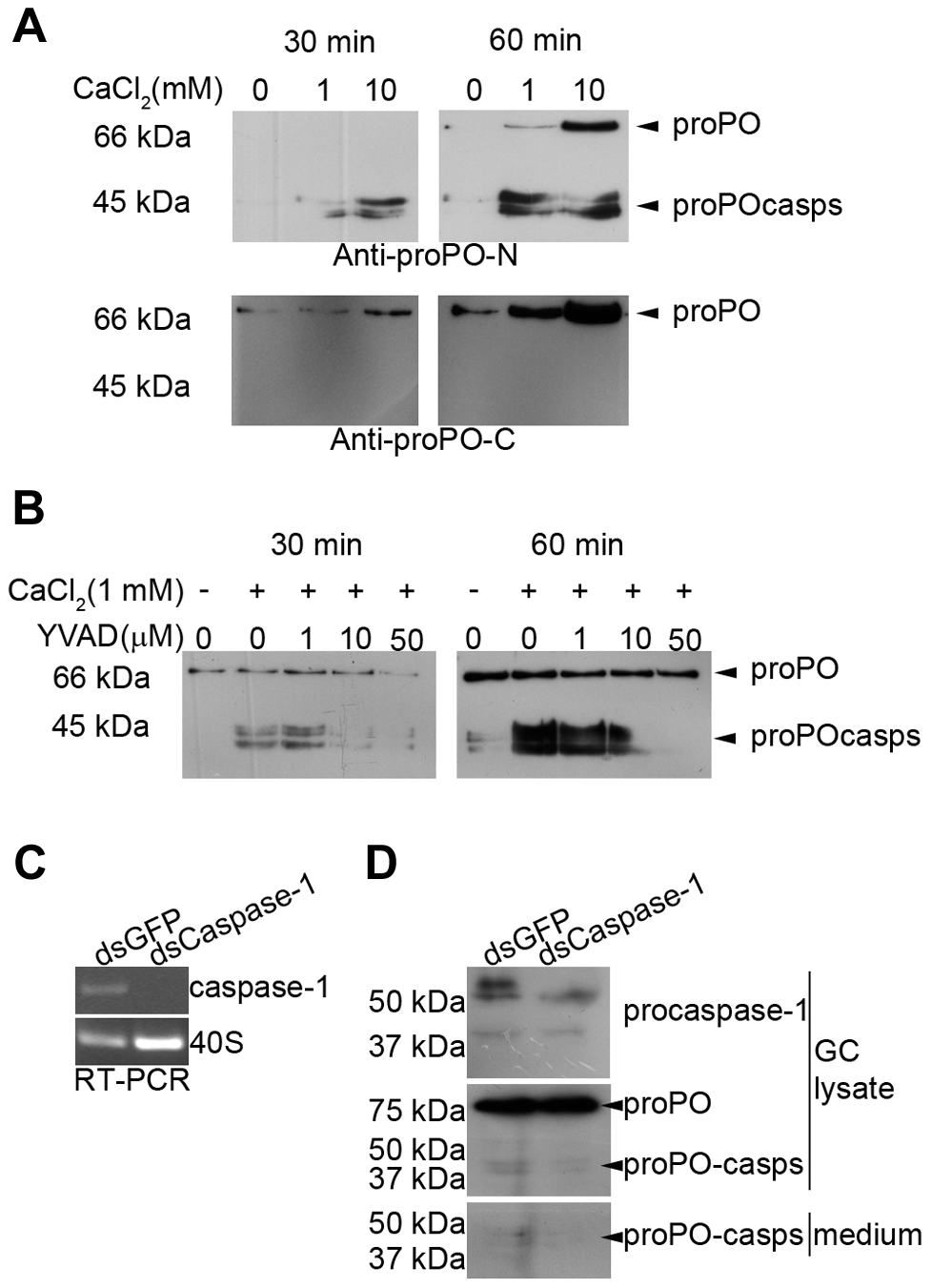 Ca<sup>2+</sup> dependence of proPO-casp release and the inhibitory effect of a caspase-1 inhibitor and caspase-1 knockdown <i>in vitro</i>.