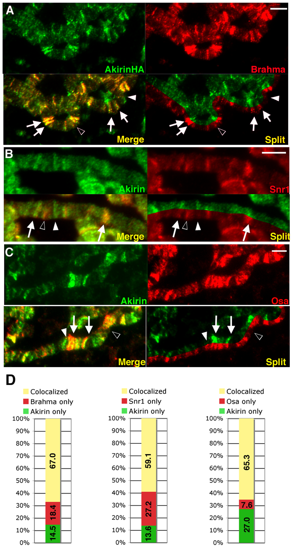 Akirin colocalizes with subunits of the SWI/SNF-class Brahma chromatin remodeling complex.