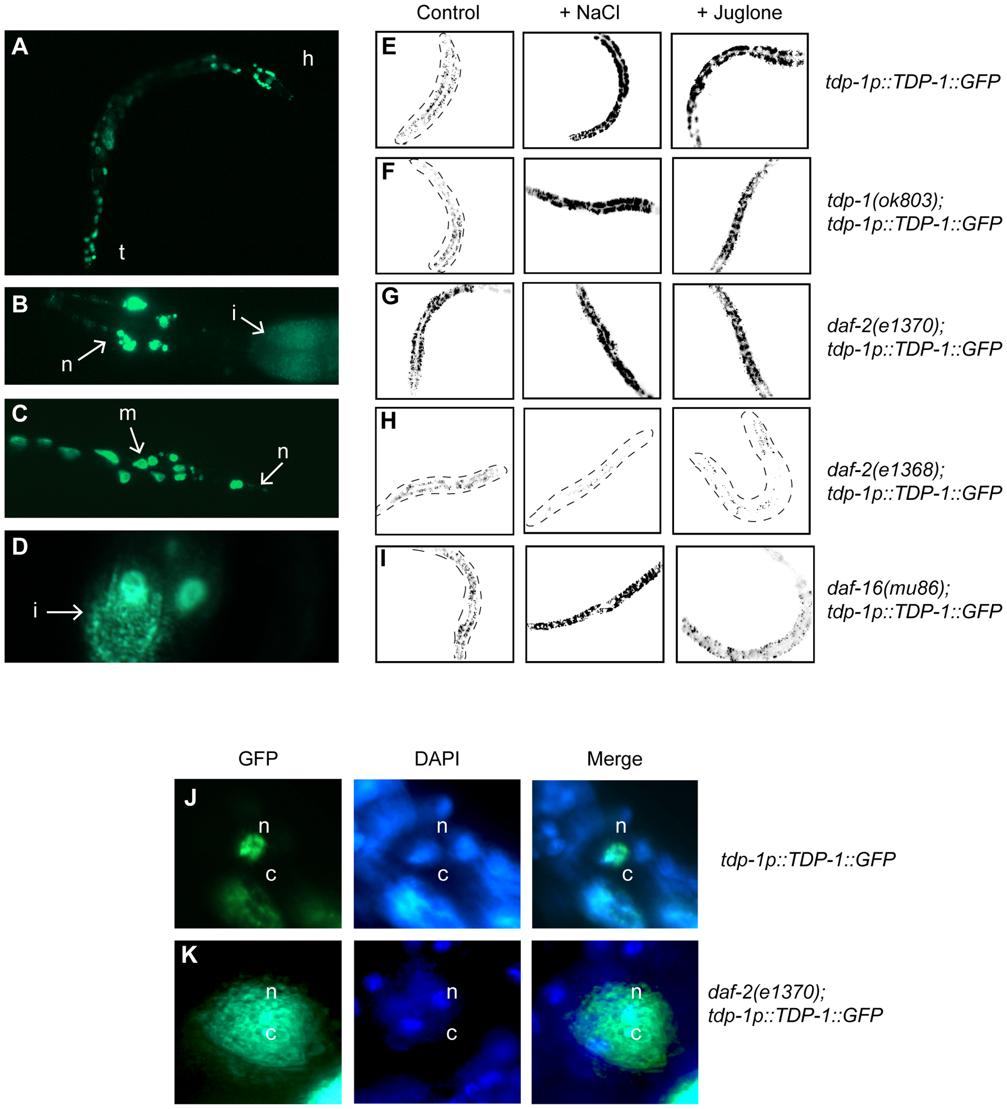 Insulin/IGF signaling and cellular stress regulate TDP-1 expression.