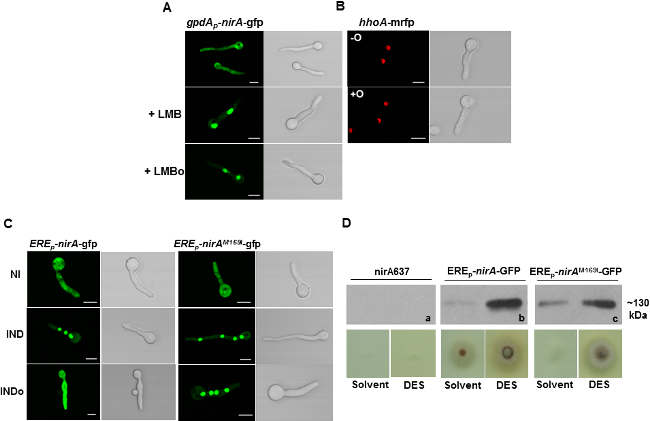 N-octylamine treatment does not influence NirA subcellular localization in KapK/CRM1-inactivated cells.