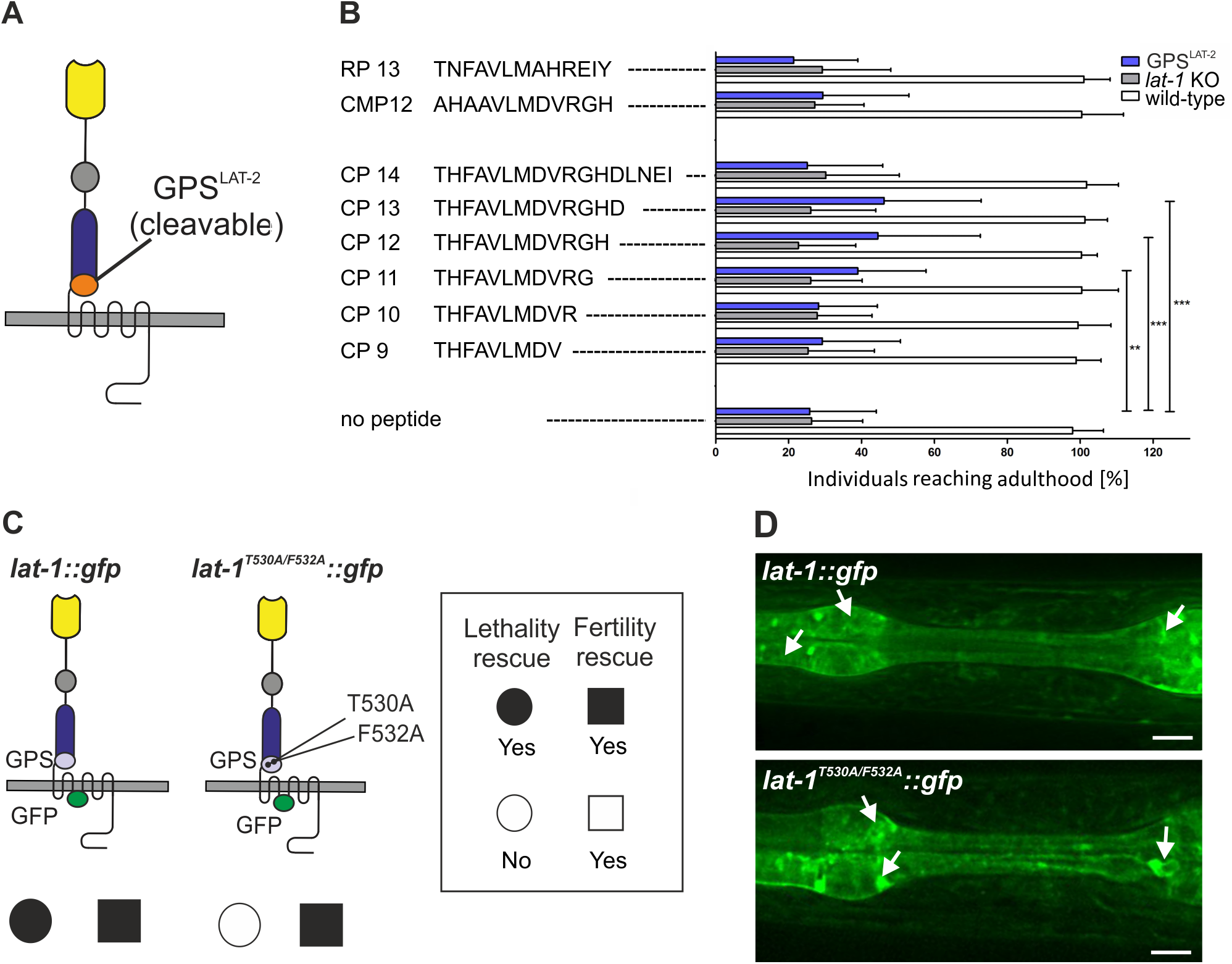 The agonistic sequence of LAT-1 triggers receptor function <i>in vivo</i>.